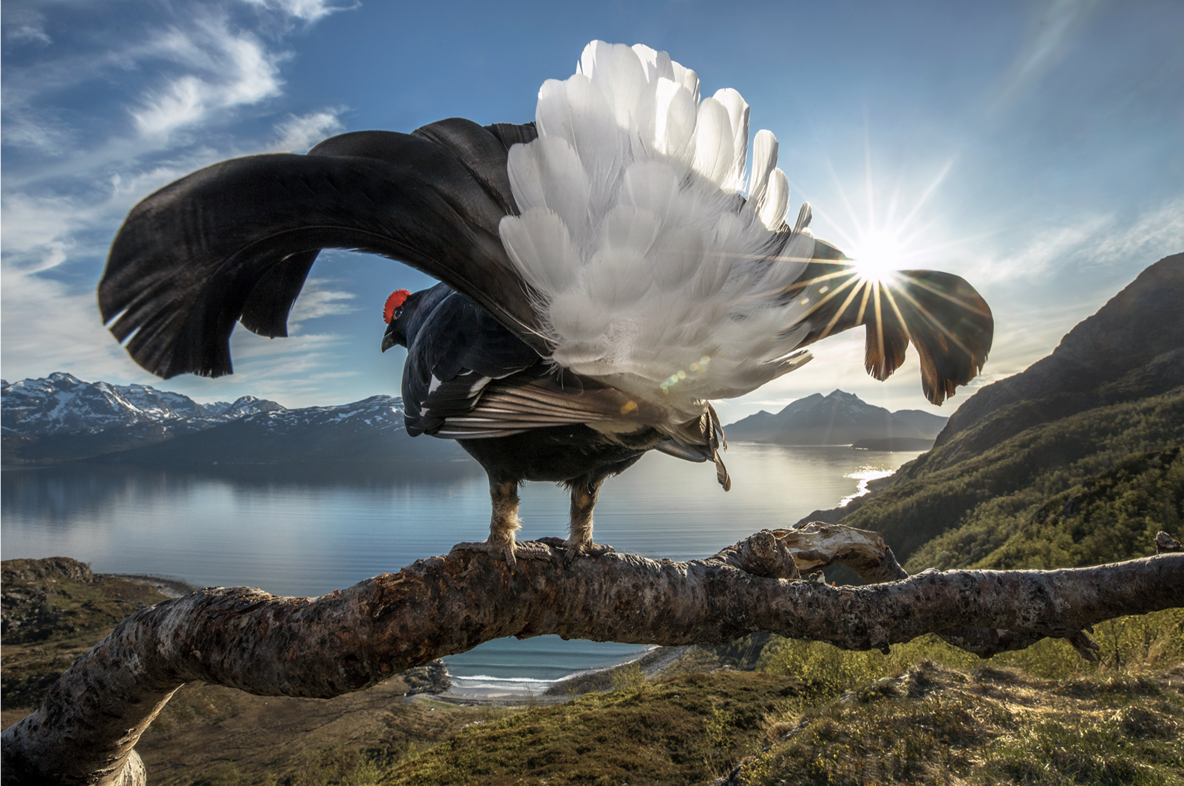 <strong>Taking Center Stage by Audun Rikardsen</strong><em>—Grand Prize Winner</em> <p>While the beauty of Norway's spectacular northern coastline might be lost on this male black grouse (Tetrao tetrix), the prime vantage point offered by its perch is certainly not. For a ground-dwelling bird known for exuberant territorial displays during the breeding season, what better place to see and be seen than this branch, which provides an eagle's-eye perspective of the terrain below. What initially drew photographer Audun Rikardsen to this spot high above the sea was, in fact, a resident golden eagle (Aquila chrysaetos) that frequented the perch. Having constructed a blind nearby, Rikardsen spent many frigid winter days photographing the eagle. But by spring, it had been replaced by a new subject: a black grouse in proud display. Not only did the grouse quickly become accustomed to Rikardsen's rapidly firing camera shutter and flash, he says, it was almost as if the bird enjoyed being in the spotlight.</p>