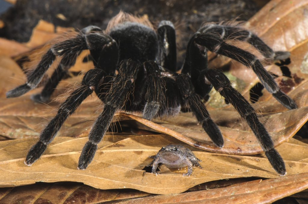 Peruvian Tarantula (Pamphobeteus sp.) adult, walking over Humming Frog (Chiasmocleis royi) without preying on it. Los Amigos Biological Station, Madre de Dios, Amazonia, Peru.
