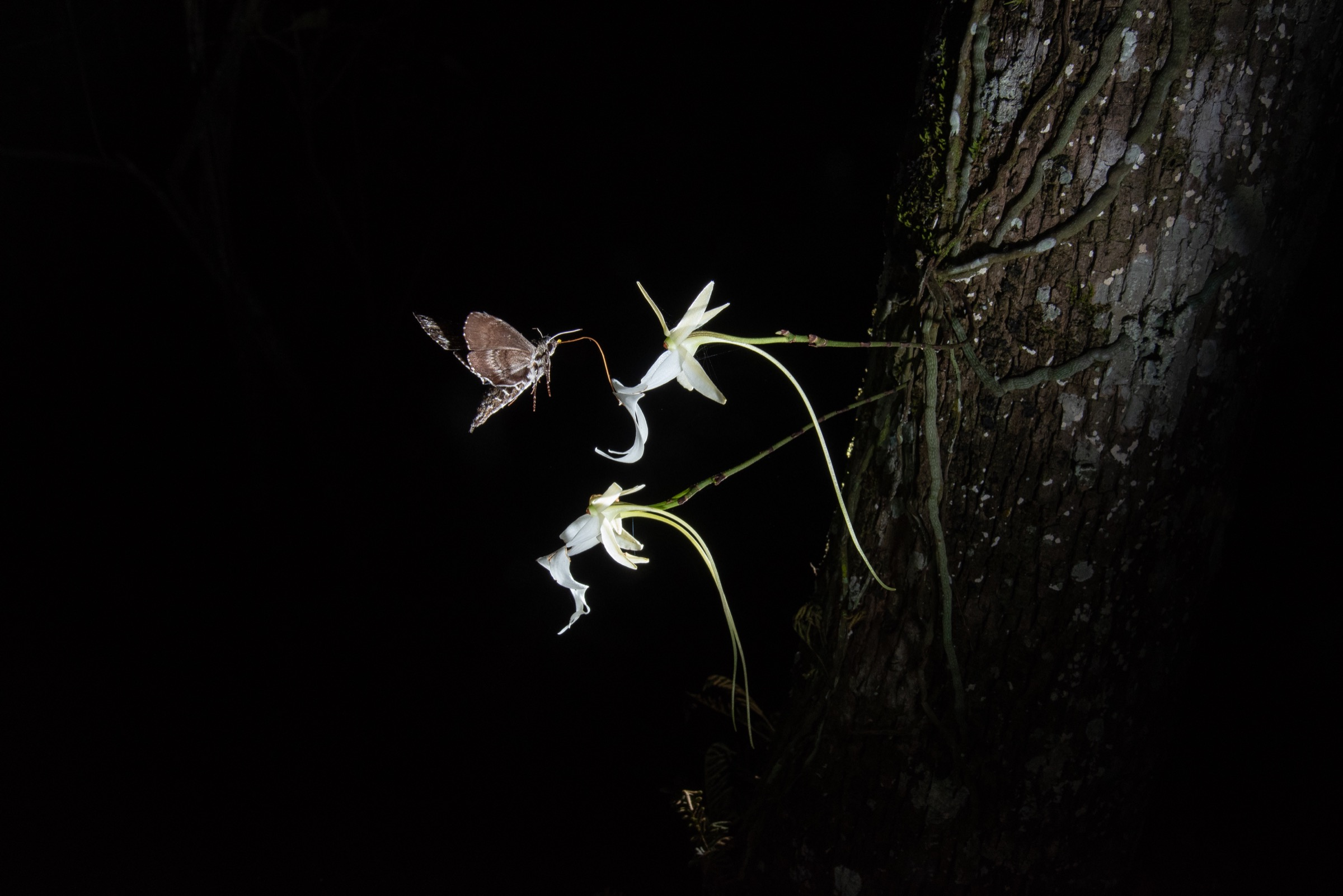 This photo, captured in the summer of 2018, was the first to show a pawpaw sphinx moth probing and likely pollinating a ghost orchid bloom. A pollinium (pollen cluster) from the ghost orchid is visible on the moth's head. Photograph by Carlton Ward Jr.