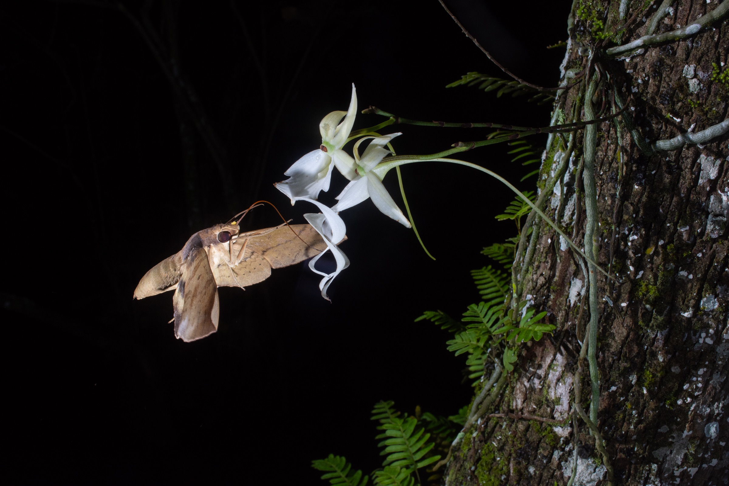 Captured on July 5, 2018, this was the first photograph to document pollination of a ghost orchid bloom. Contrary to the expectations of many experts, who believed that the giant sphinx moth was likely the only pollinator of the ghost orchid, this moth is a fig sphinx. The yellow bundle on its head is a ghost orchid pollinium (pollen cluster). Photograph by Carlton Ward Jr.