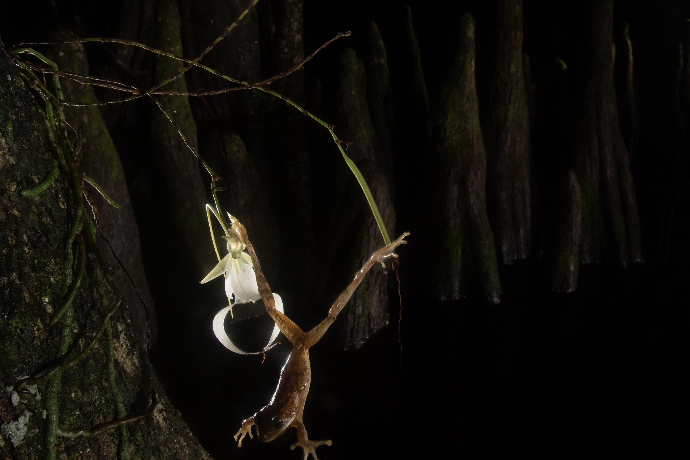 An invasive Cuban tree from hangs from a ghost orchid bloom, presumably after lunging for an insect that was attracted to the scent of the flower. Photograph by Carlton Ward Jr.