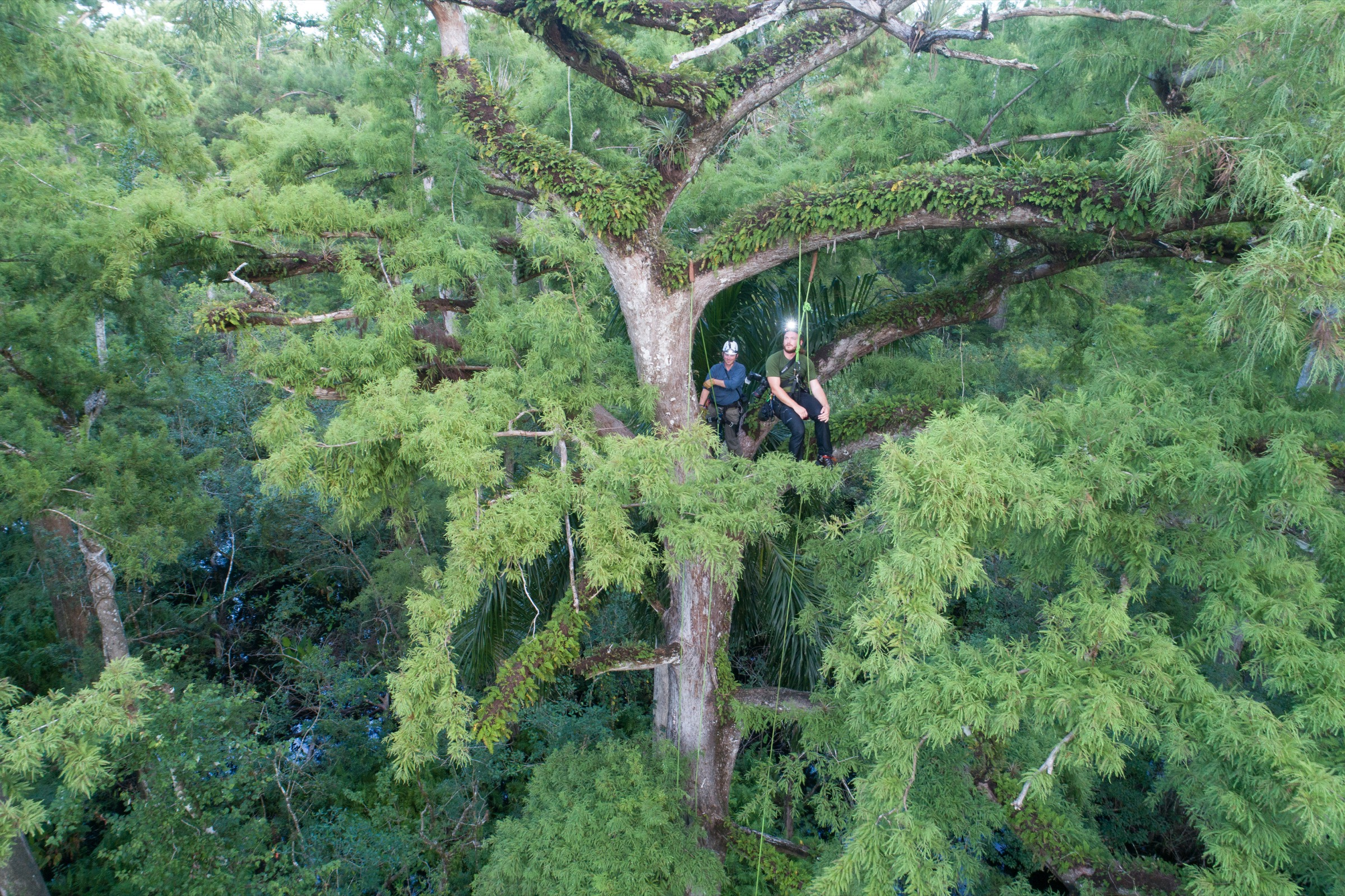 Photographer Mac Stone (in blue) and ecologist Peter Houlihan explore the canopy of an old-growth cypress tree at Audubon's Corkscrew Swamp Sanctuary near Naples, Florida. They captured the first-ever photo of a giant sphinx moth visiting a ghost orchid using a camera trap in a nearby cypress tree. Photograph by Carlton Ward Jr.