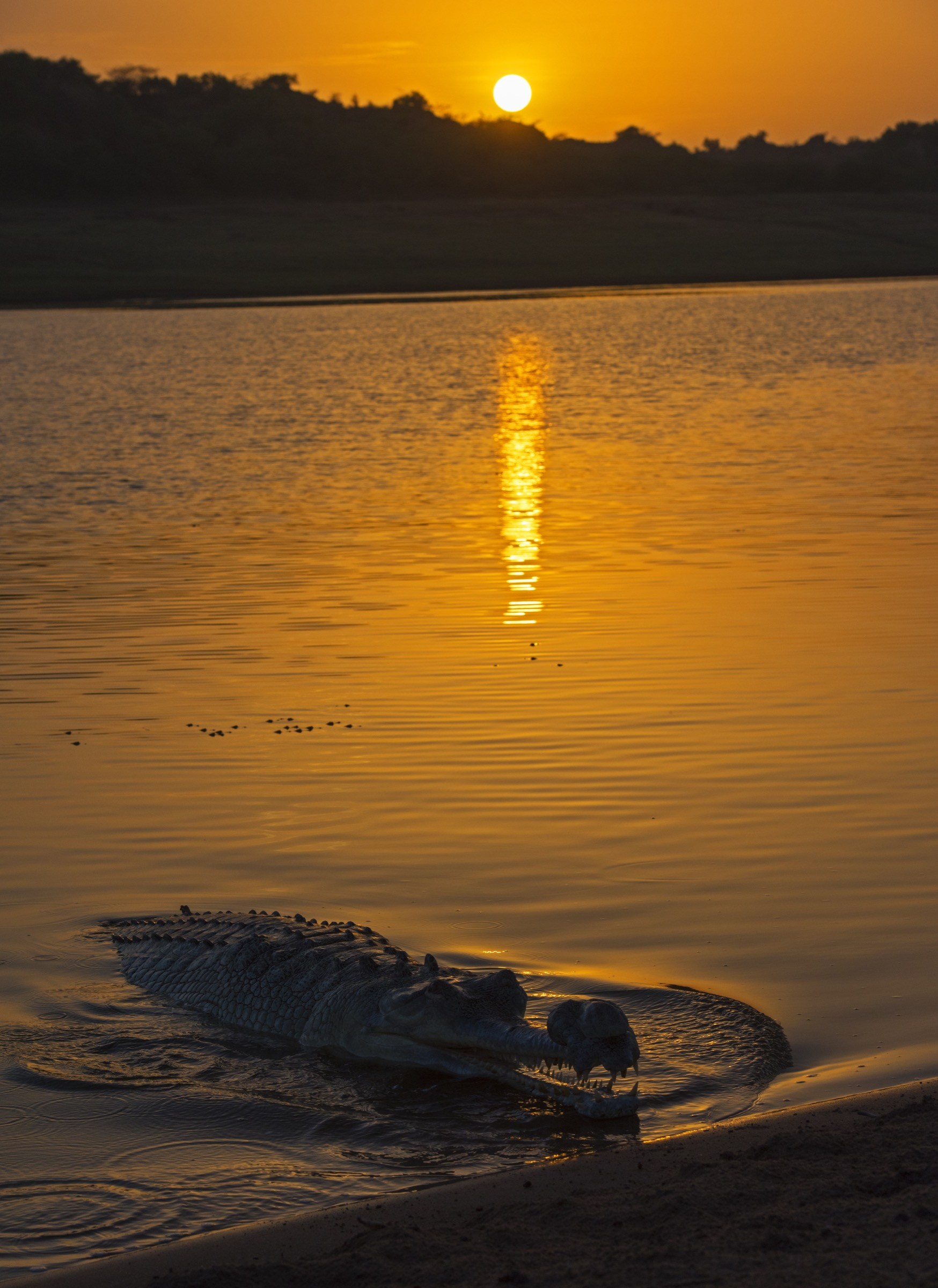 Male gharials, like this one photographed at sunset on the Chambal, become more active during the breeding season as they defend their territories against rival males and predators.