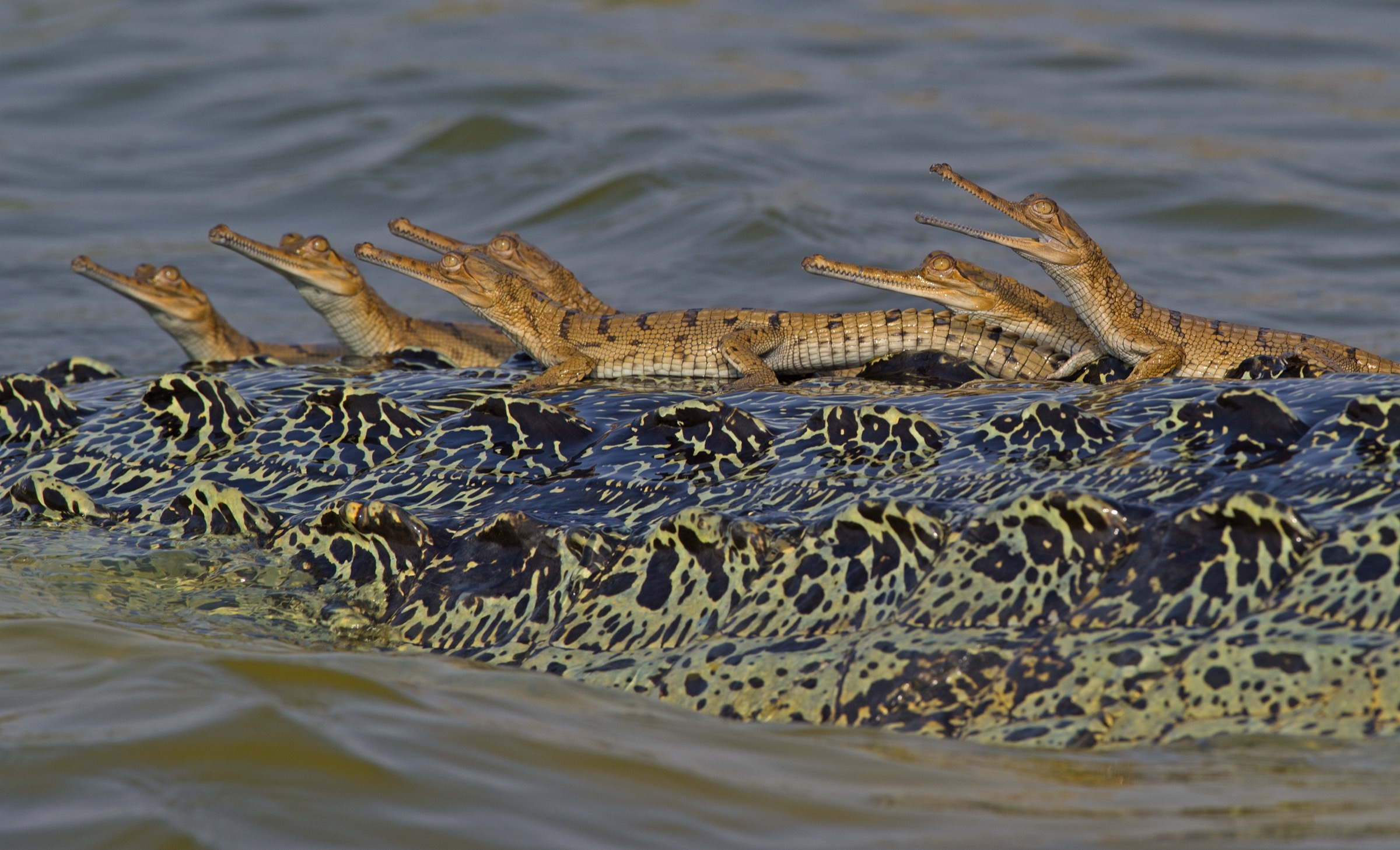 Hatchlings bask in the sun on the back of the resident adult male—most likely their father.