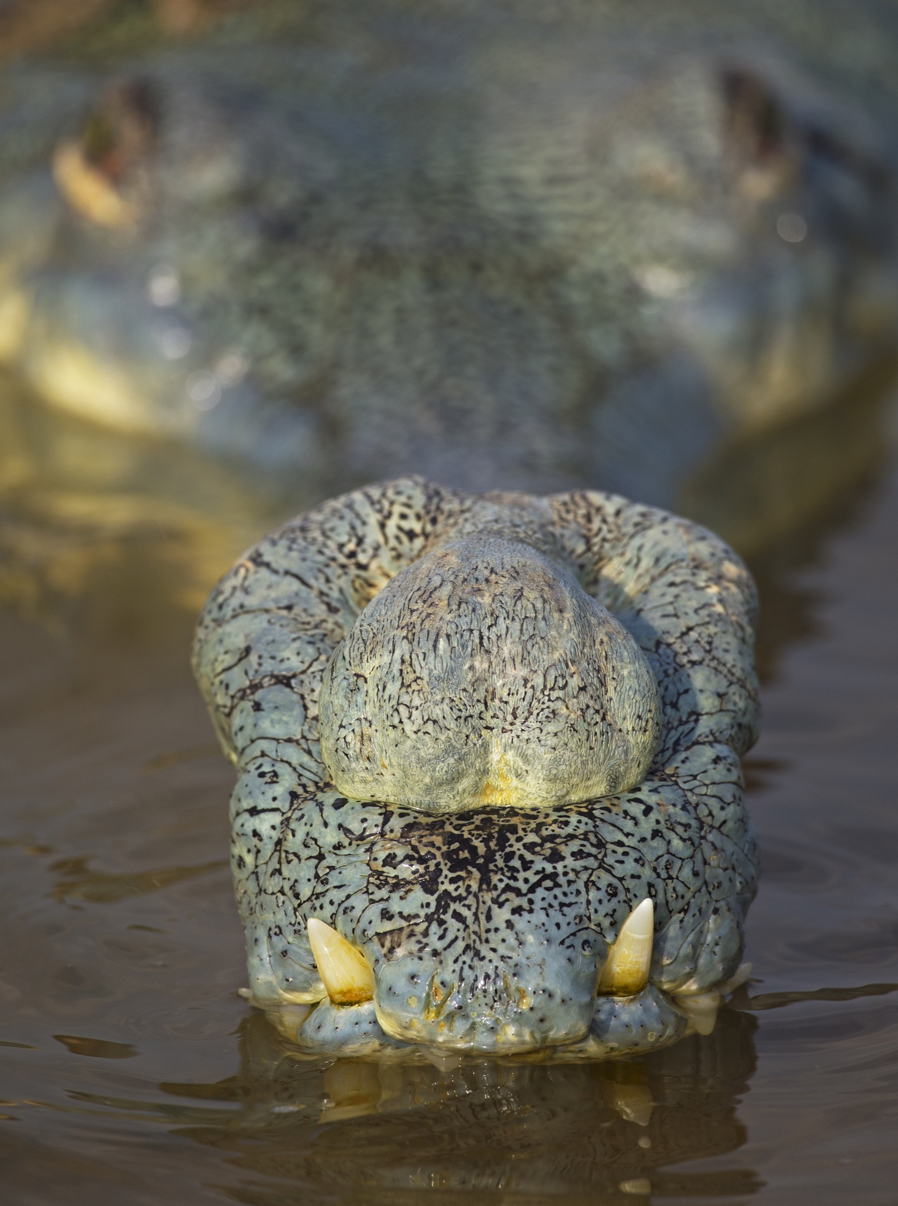 The gharial is named after the ghara, the bulbous lump that forms on snouts of adult males. These structures are thought to help amplify the hissing and underwater popping sounds that males make in defense of their territories.
