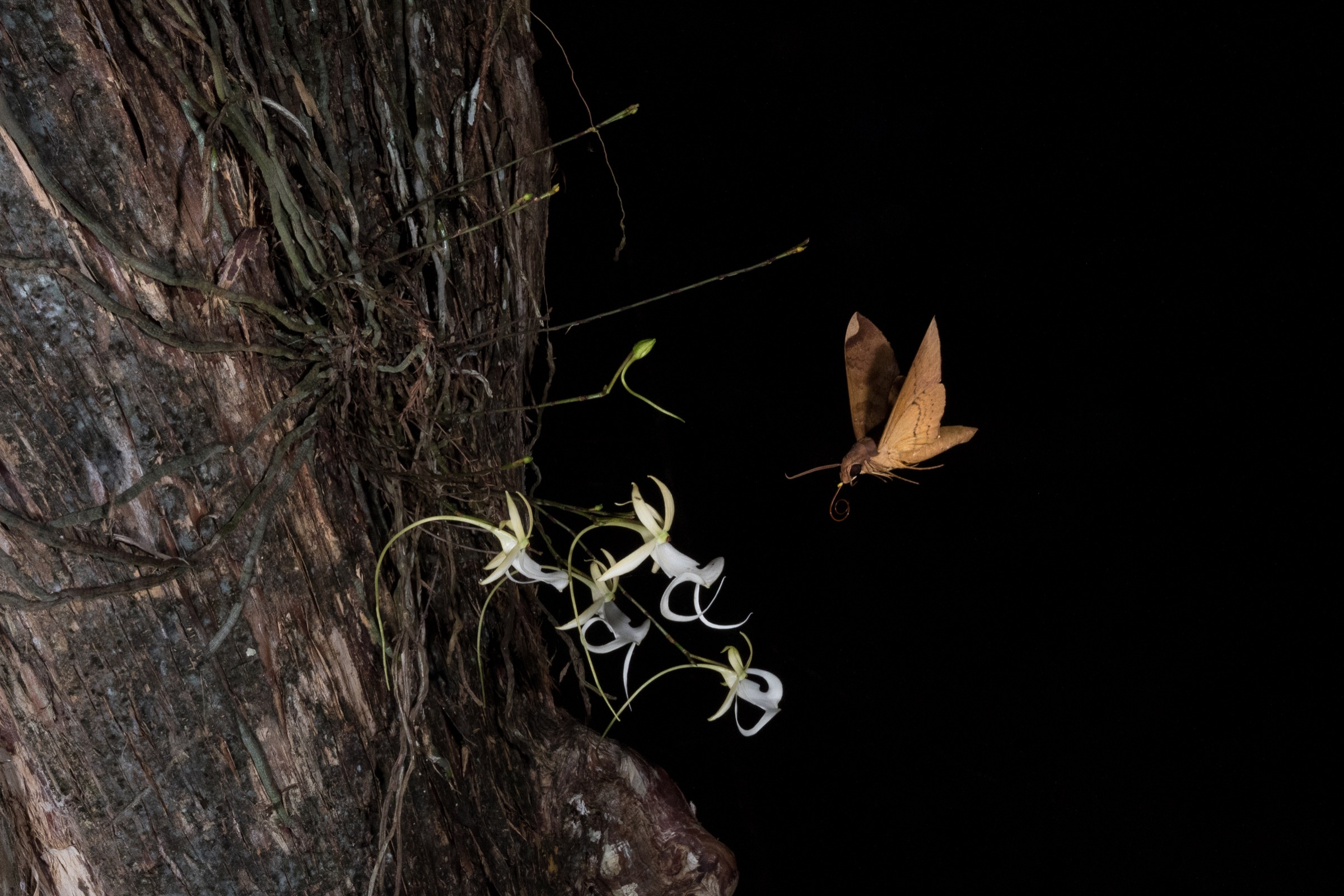 A fig sphinx moth hovers over a ghost orchid.A yellow pollinium (pollen cluster) is visible on the face of the moth. Photograph by Mac Stone.
