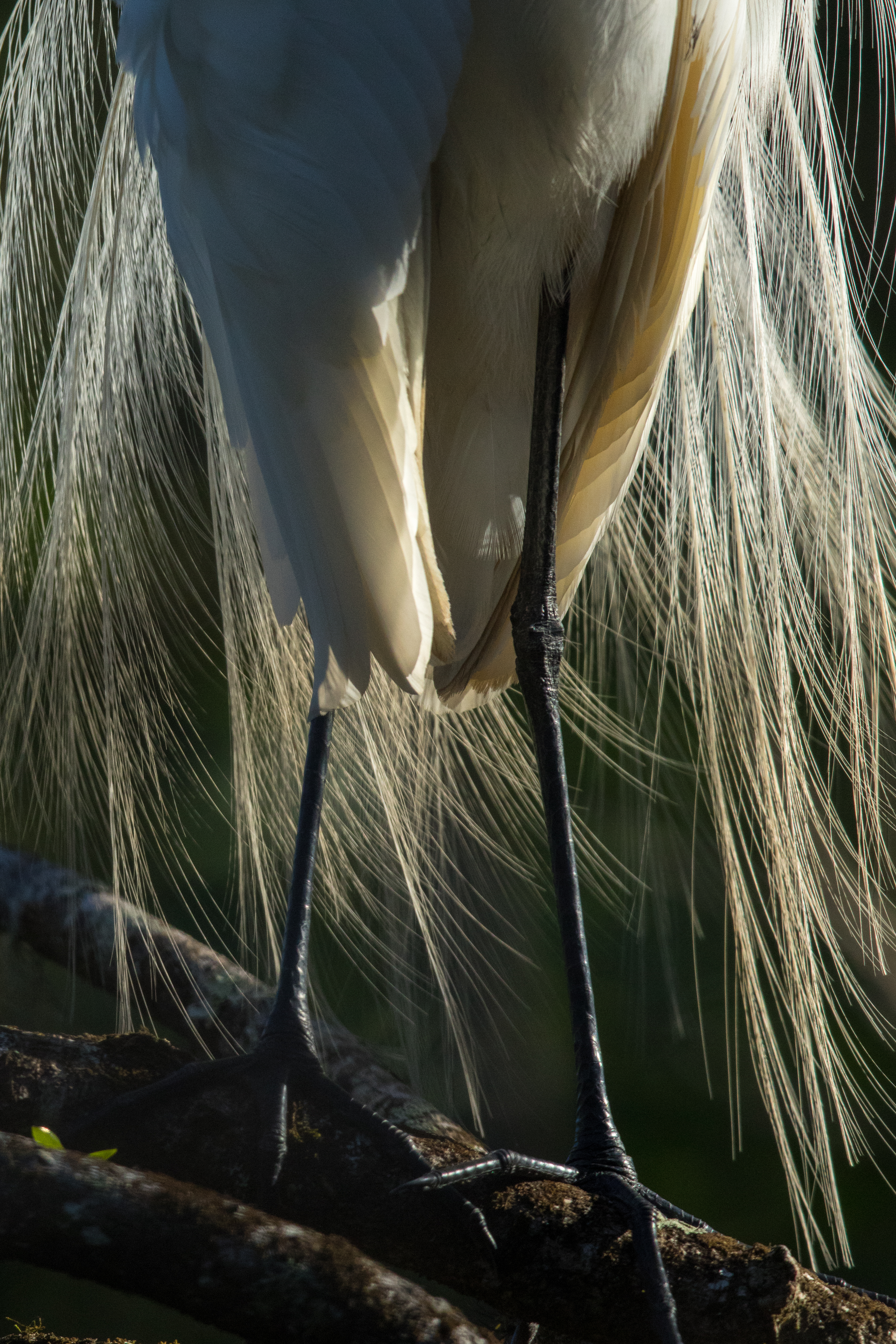 The wispy breeding plumage of a great egret is backlit by a rising sun in Audubon's Corkscrew Swamp Sanctuary. Because of the swamp's pockets of deep water, birds come from around the watershed to forage for fish here during the dry season. Photograph by Mac Stone