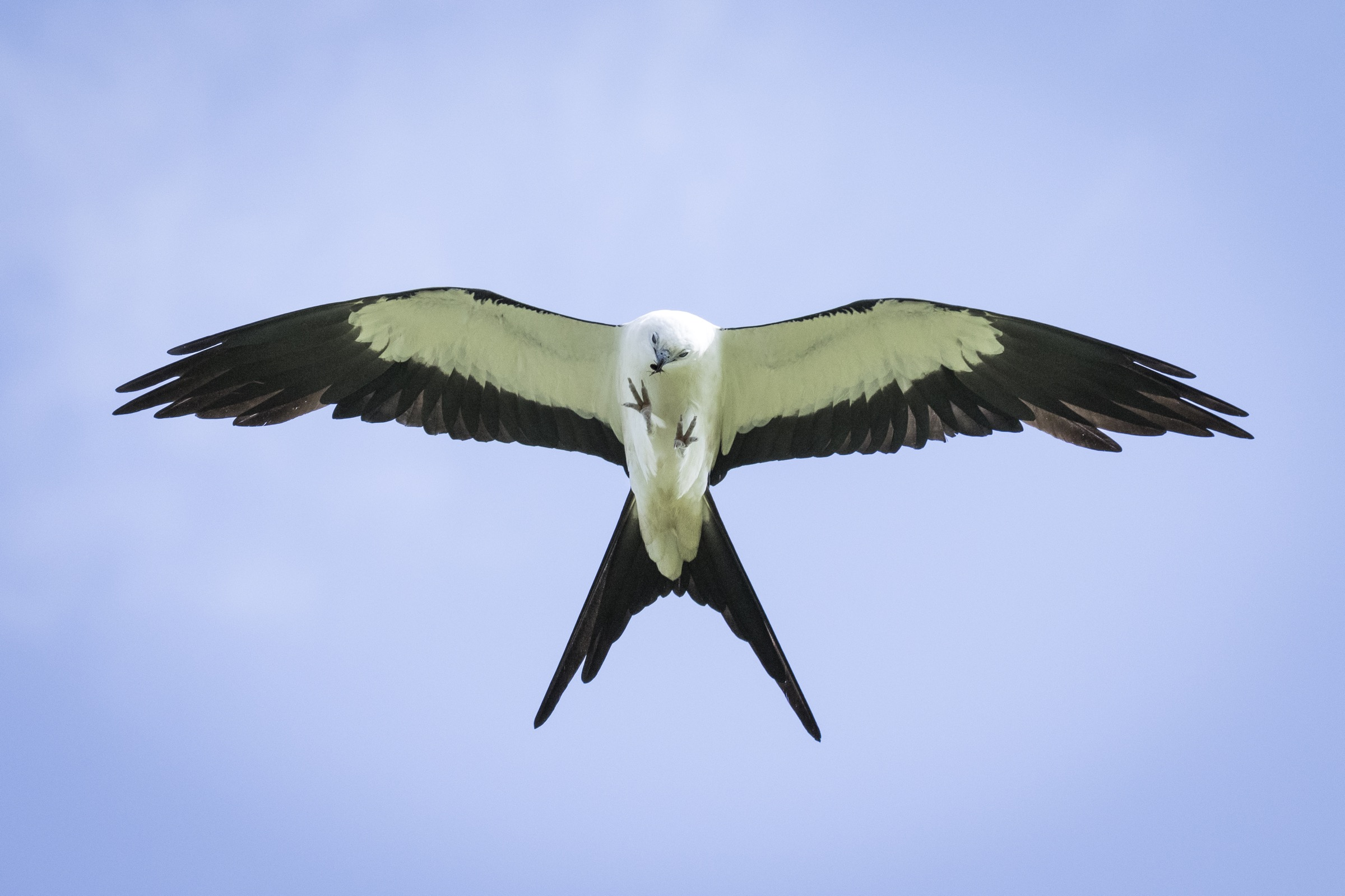 Swallow-tailed kites are spectacular flyers, capable of eating and drinking in flight, and rarely beating their wings over the course of the day.