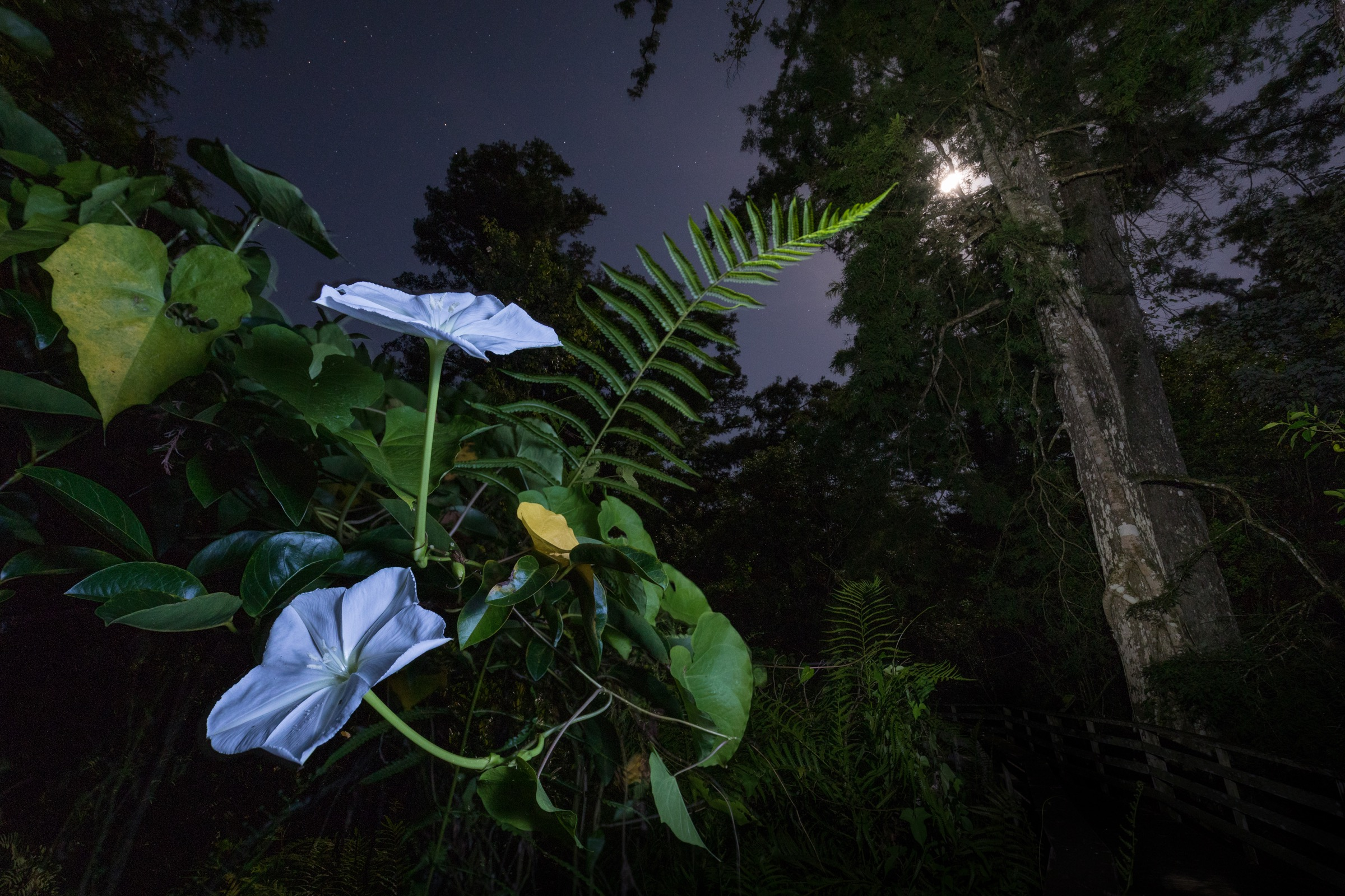 The moonflower thrives in the subtropical climate of the Everglades and opens at night to attract large moths, like the giant sphinx moth, that can probe the flower's long nectar tube. Photograph by Mac Stone