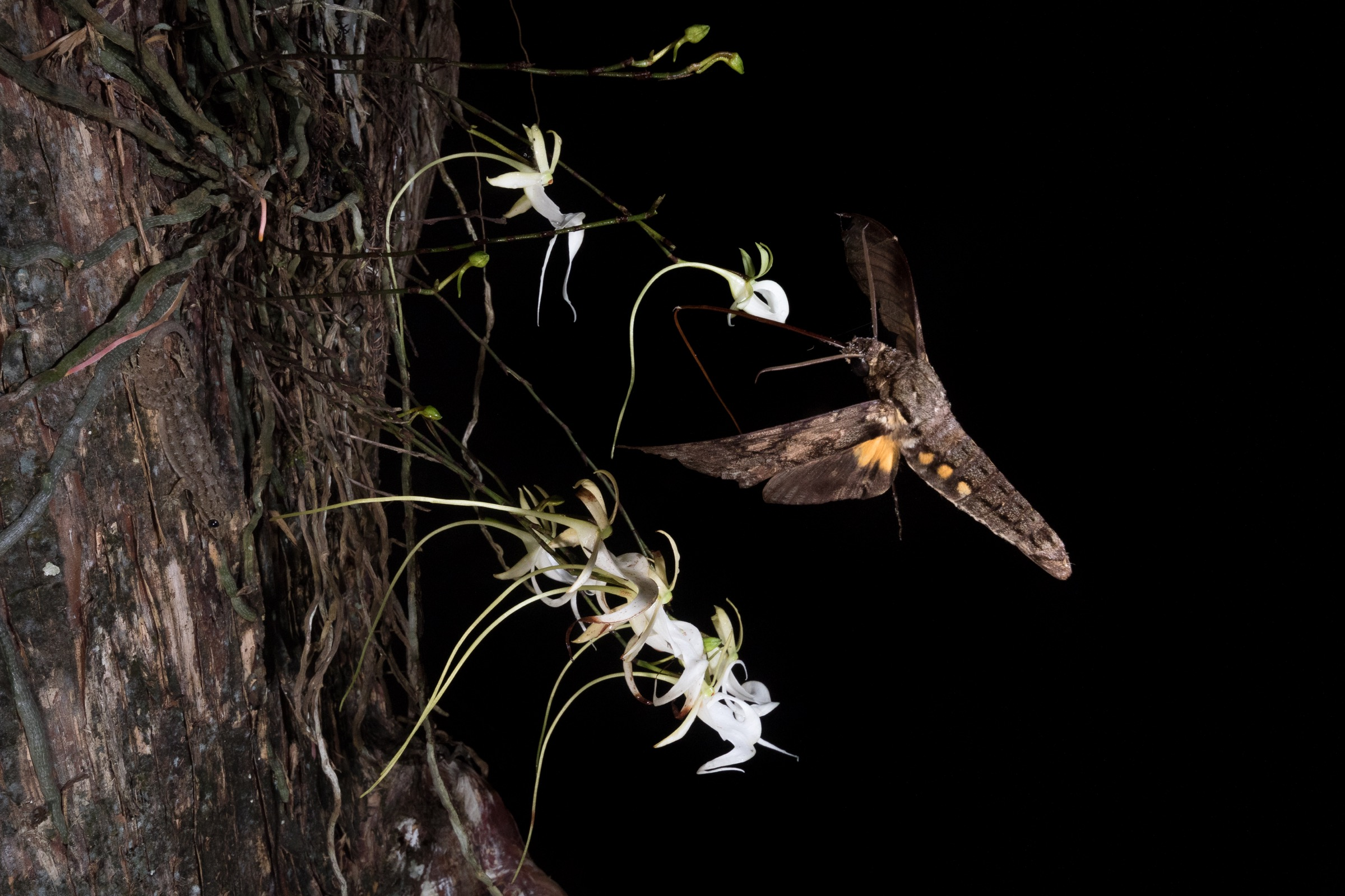 A giant sphinx moth extends its proboscis to drink the nectar from a ghost orchid. Photograph by Mac Stone