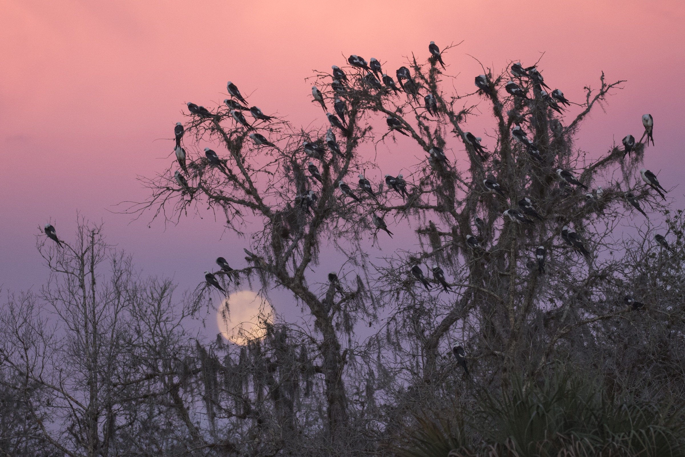 A group of kites settles in for the night at a pre-migration roost site in South Florida.