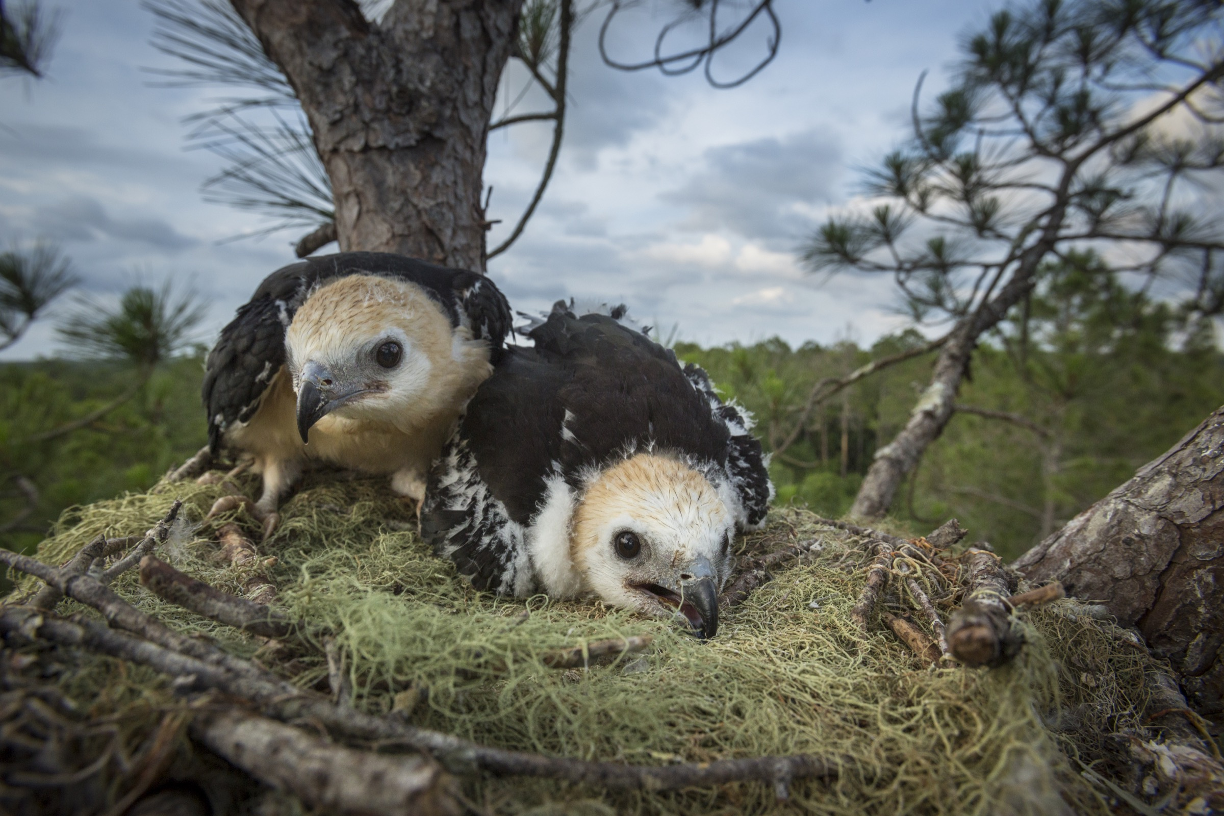 Two swallow-tailed kite nestlings hunker down in their nest near the top of a tall pine in Florida's Withlacoochie State Forest.