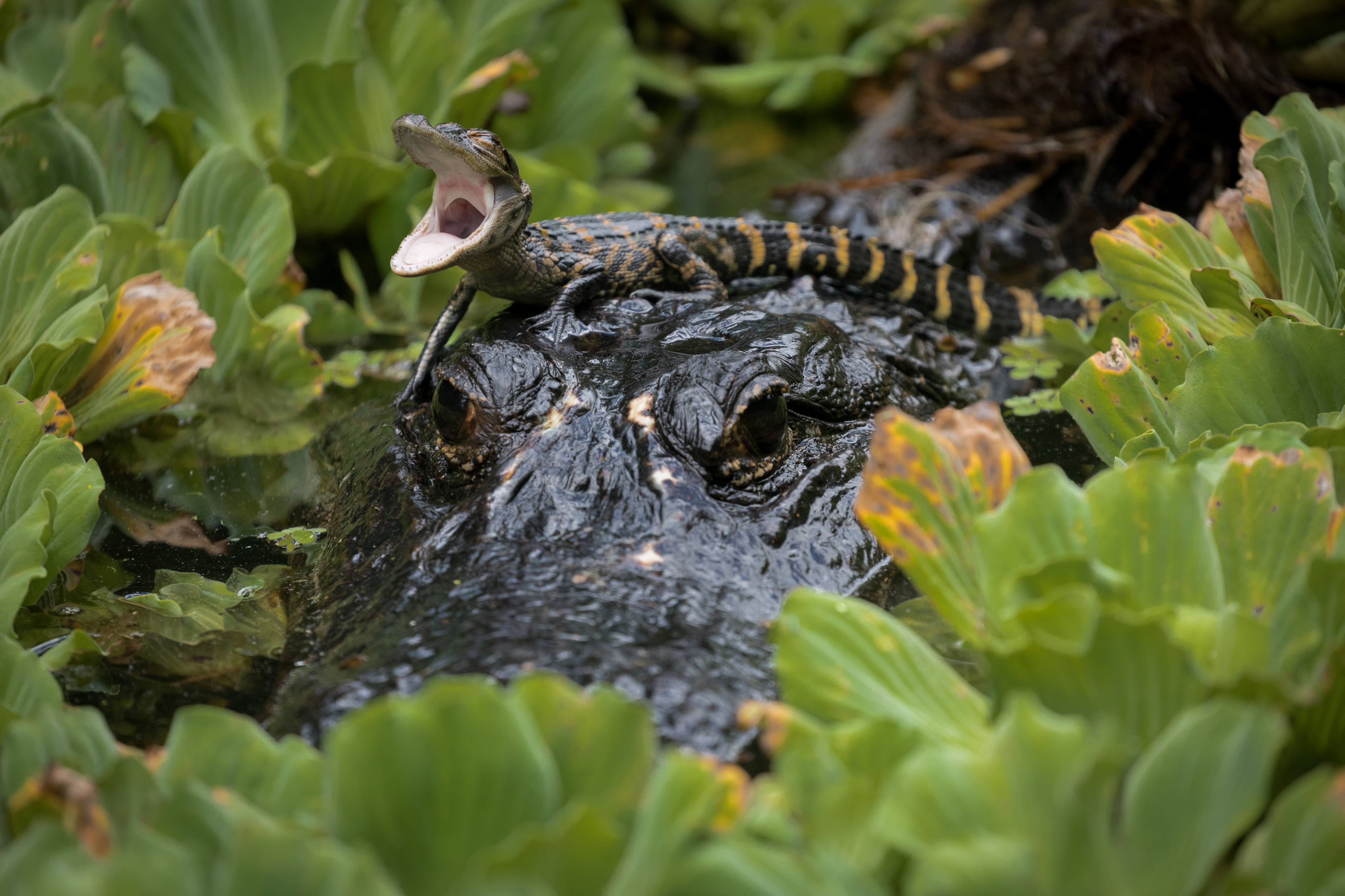 A first-year American alligator finds solid ground on the head of its mother in Corkscrew Swamp Sanctuary. Photograph by Mac Stone