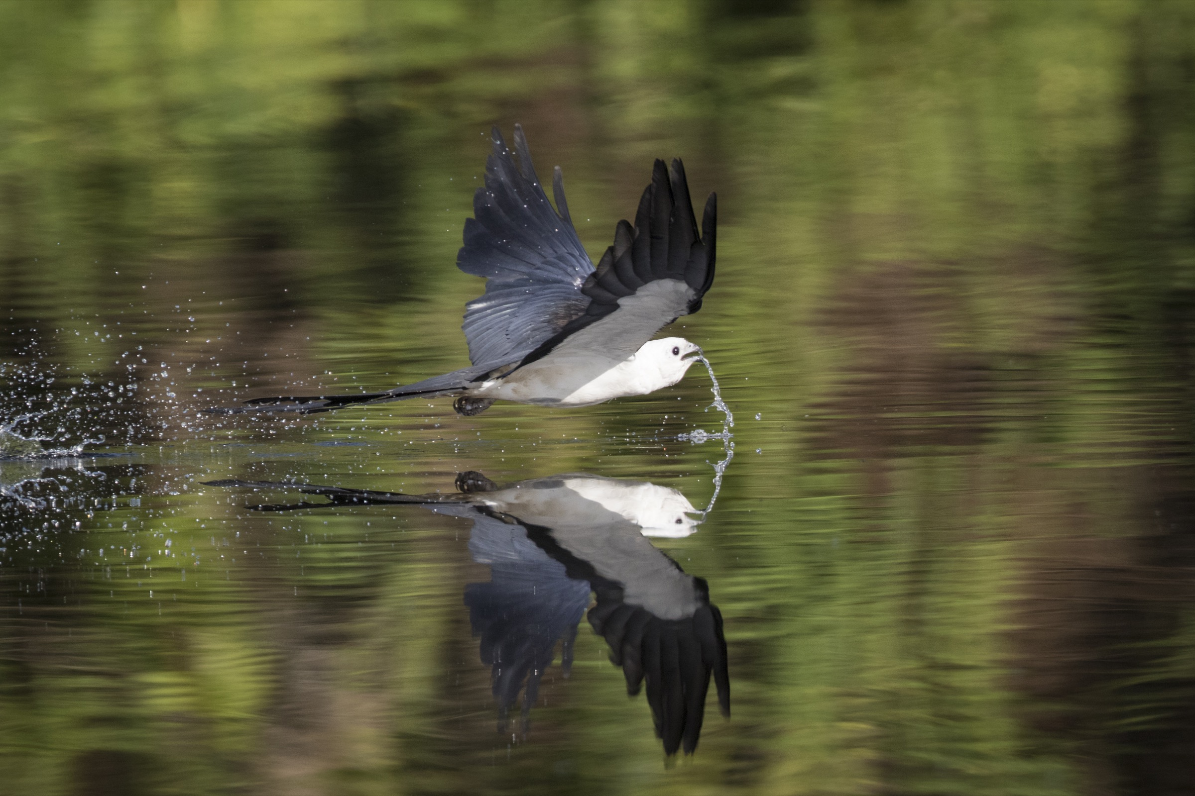 Swallow-tailed kites, like this one skimming over the surface of Florida's Lake Woodruff, typically don't bother to stop when they need a drink.