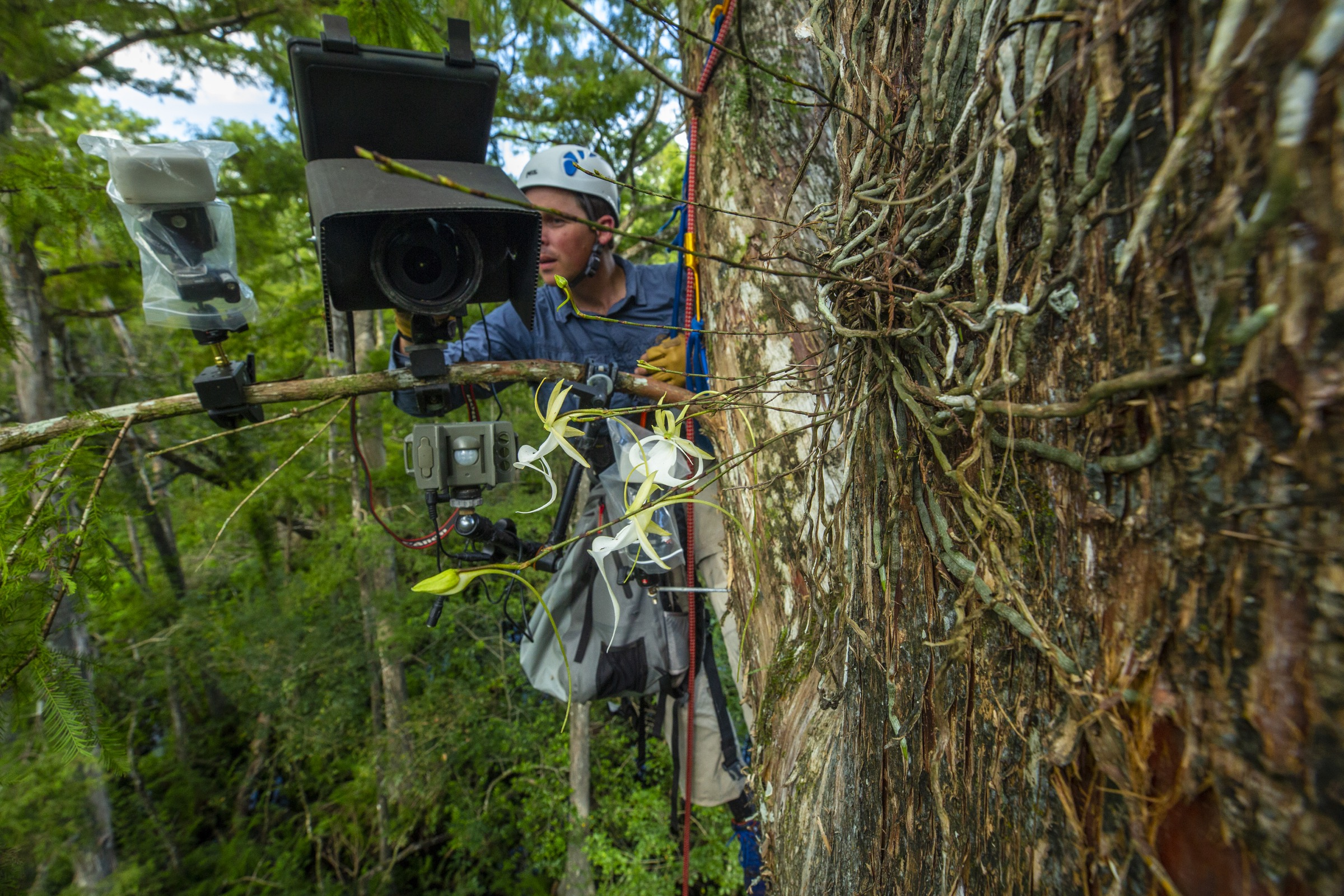"Conservation photographer Mac Stone used a camera trap to capture the first-ever photo of a giant sphinx moth visiting a ghost orchid. His early rig (pictured here) was attached to a tree branch. Later he had a special ""treepod"" manufactured that could be attached directly to the trunk of the tree. Photograph by Peter Houlihan"