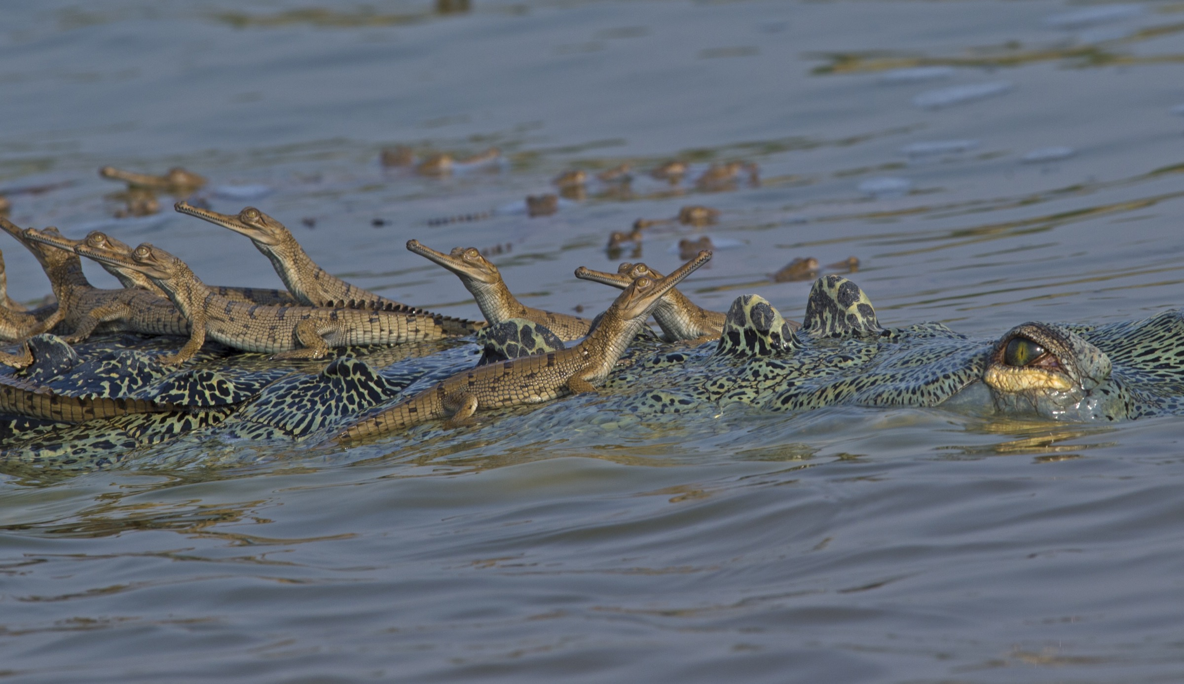 Hatchling gharials bask on the back of an adult male on the Chambal River, India.