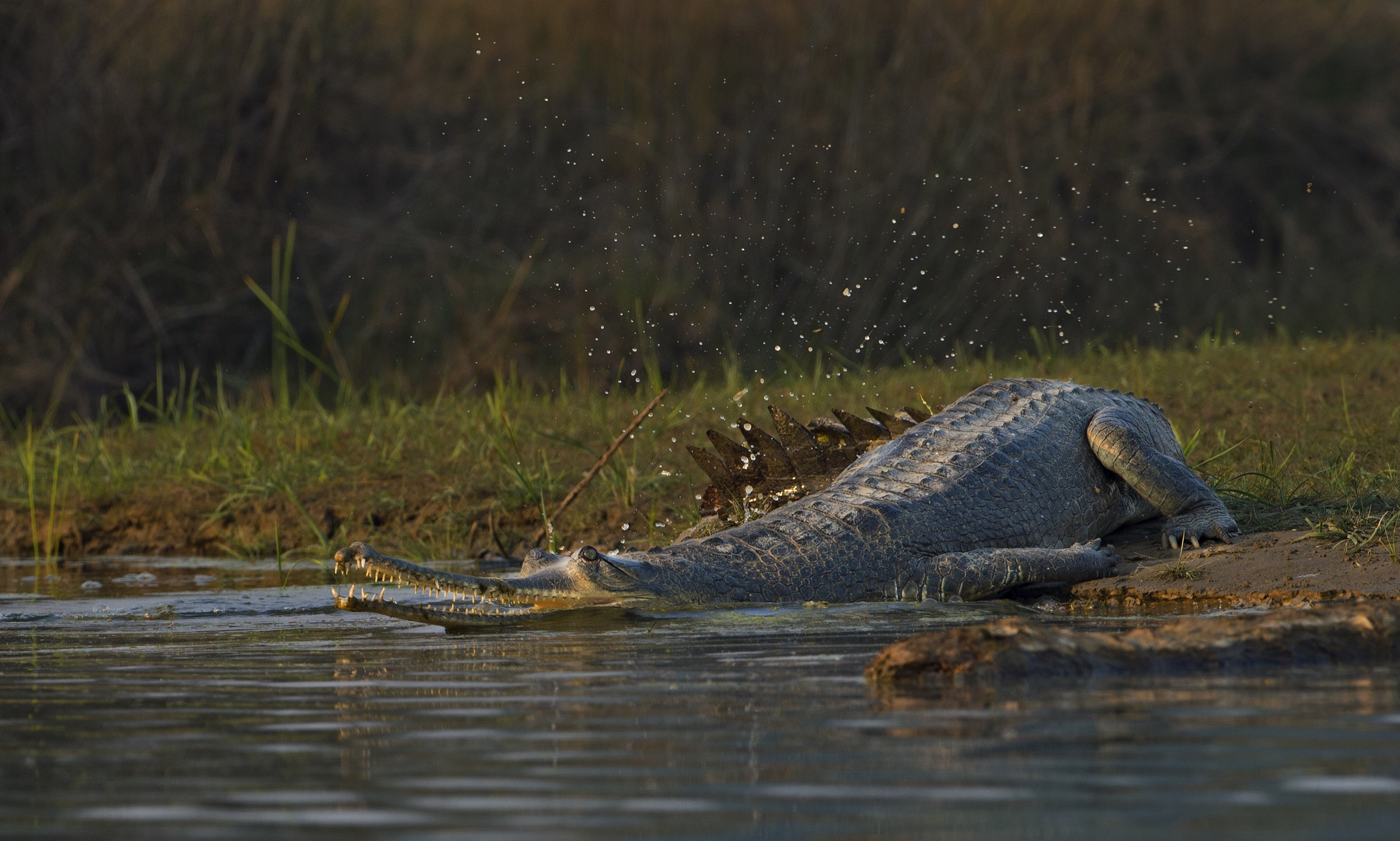 A large adult female makes her way back into the Chambal after basking on the river's wide, sandy bank.