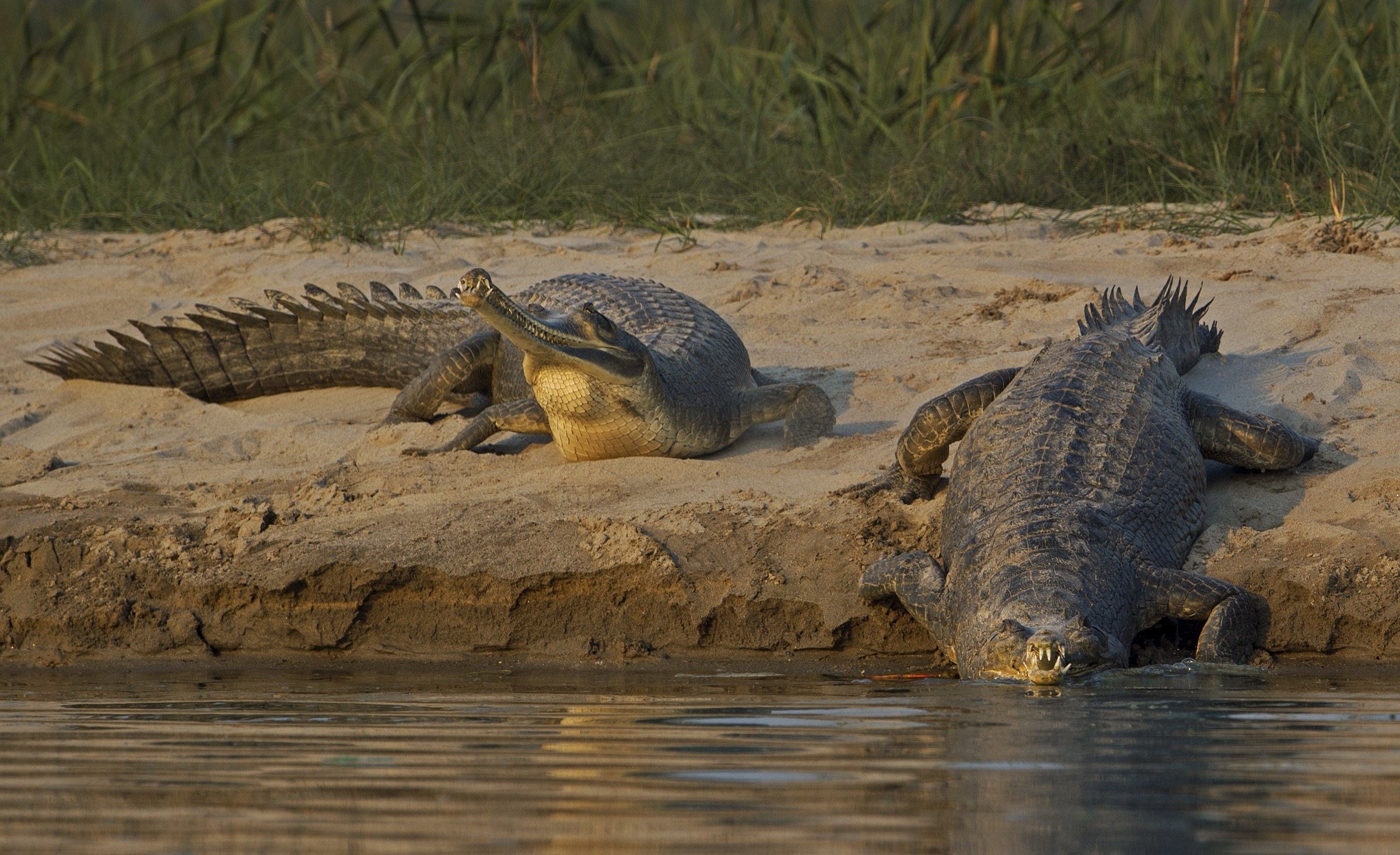 Gharials bask on the wide, sandy banks of the Chambal during the dry season.