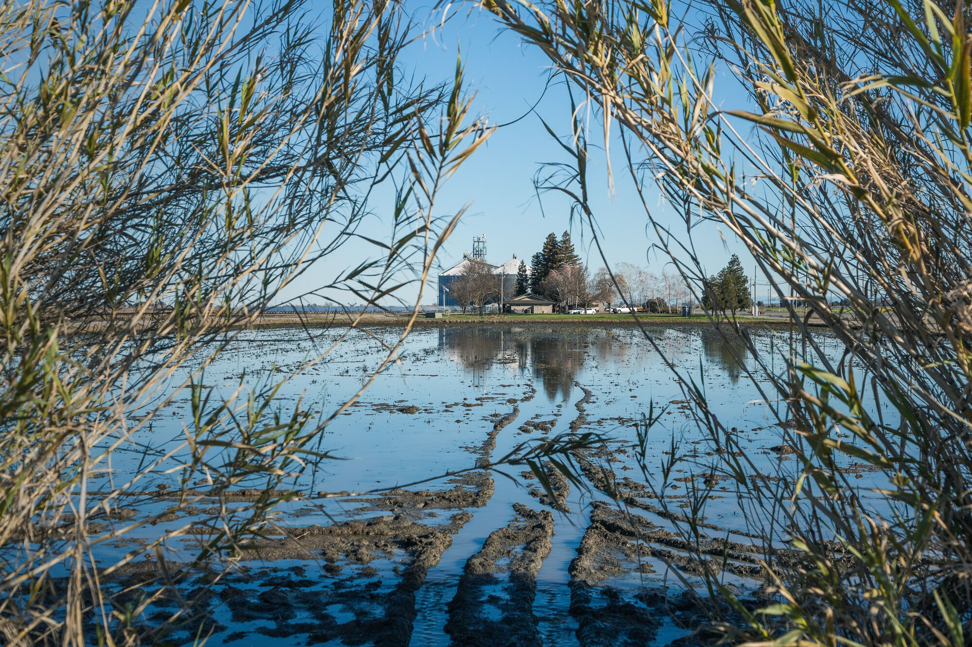 In flooded rice fields like this one near the Sacramento River, the shallow, still water provides the perfect conditions for both algae and zooplankton to proliferate.