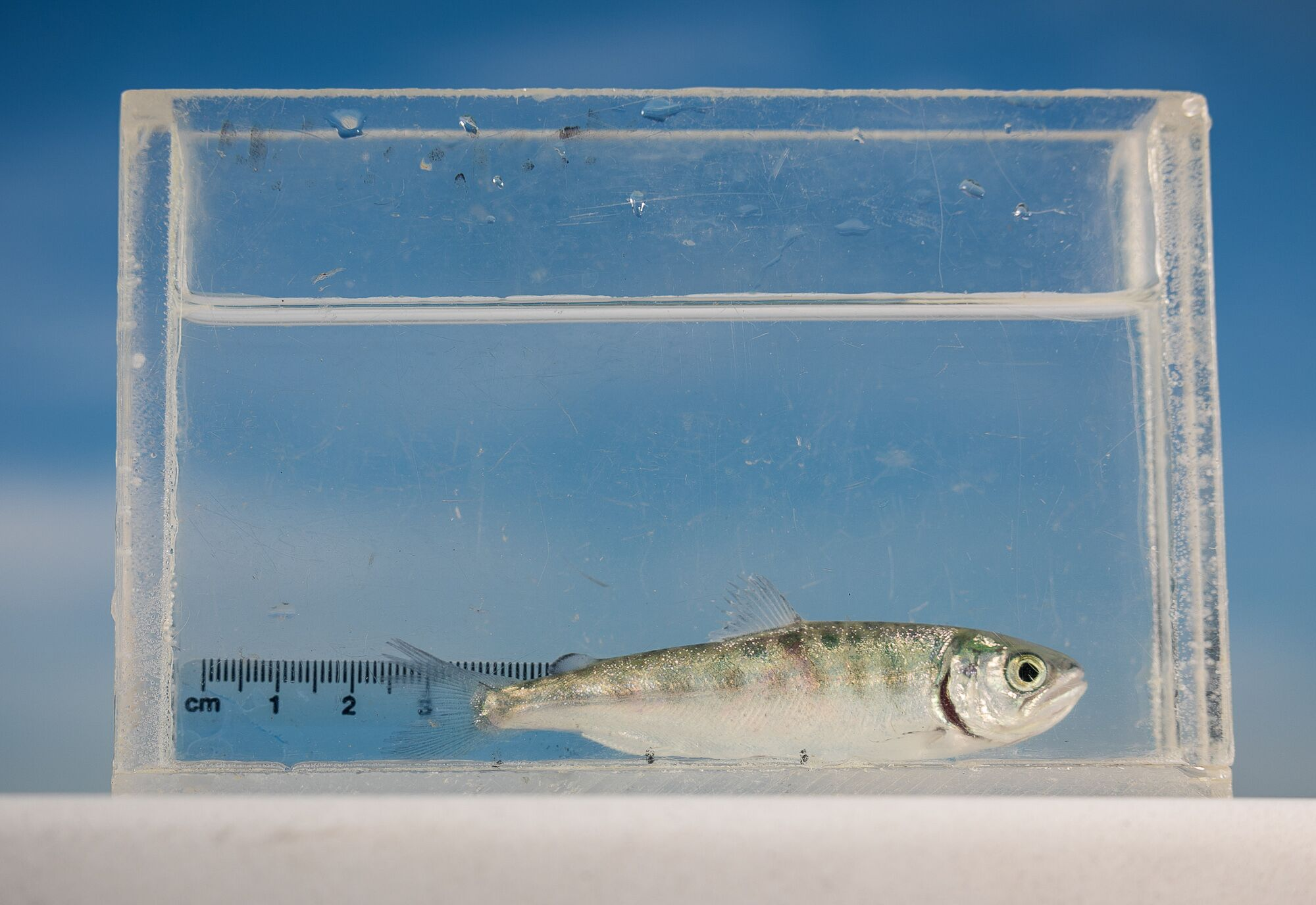 A Chinook salmon fry is measured at the Bodega Marine Laboratory at the University of California, Davis.