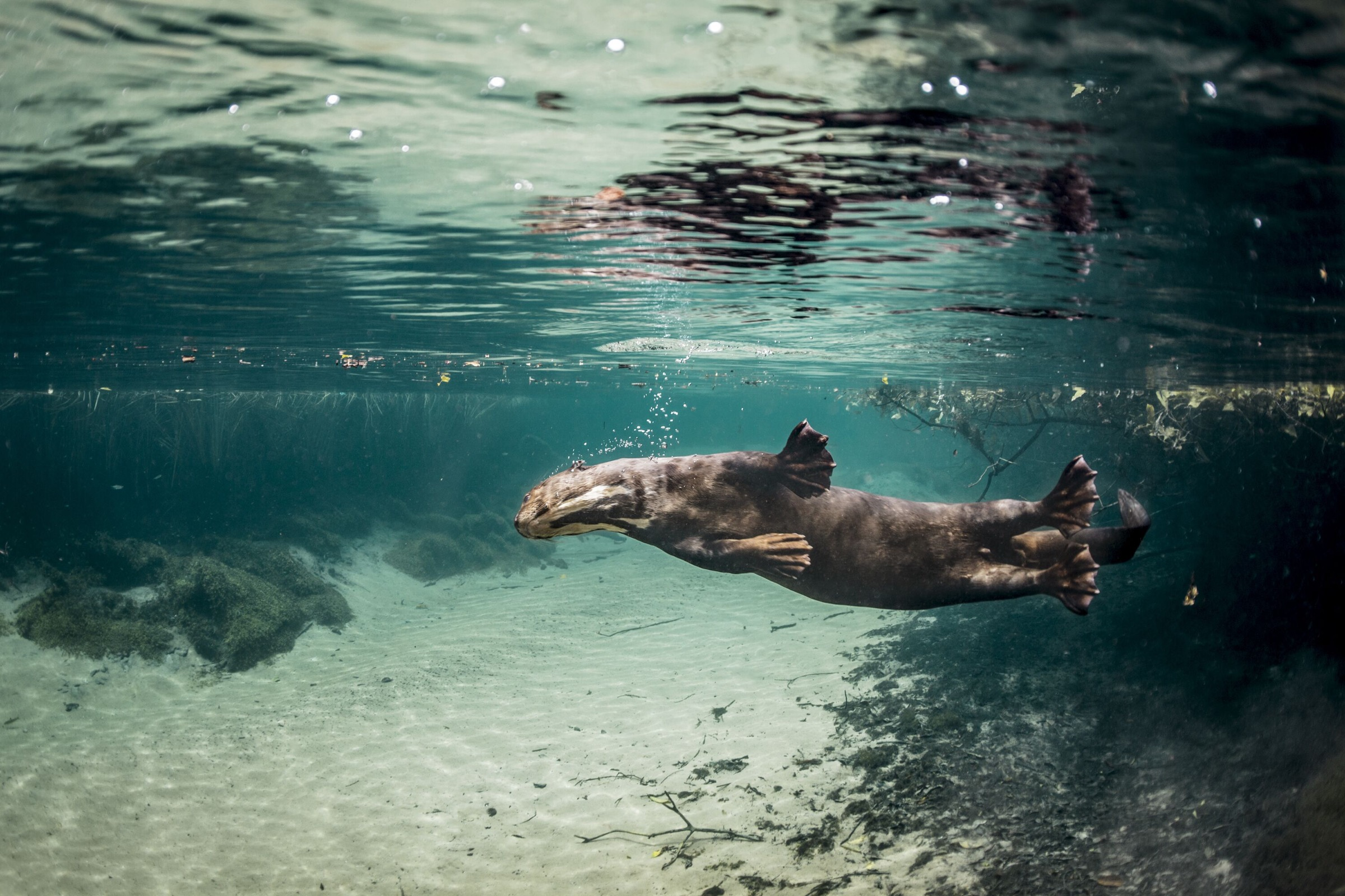 With their large webbed feet, giant river otters glide effortlessly through the Brazilian rivers outside the town of Bonito.