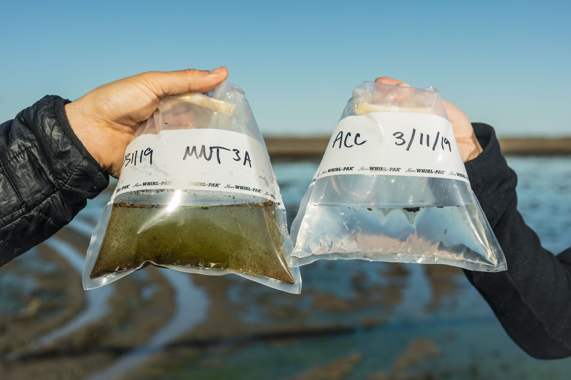 On the left, a water sample taken from a flooded rice field is bursting with zooplankton. On the right, a water sample taken from the Sacramento River on the same day contains very little food for young salmon.