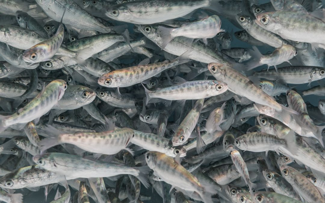 Hundreds of Chinook salmon fry swim in a tank at the Bodega Marine Laboratory at the University of California, Davis.