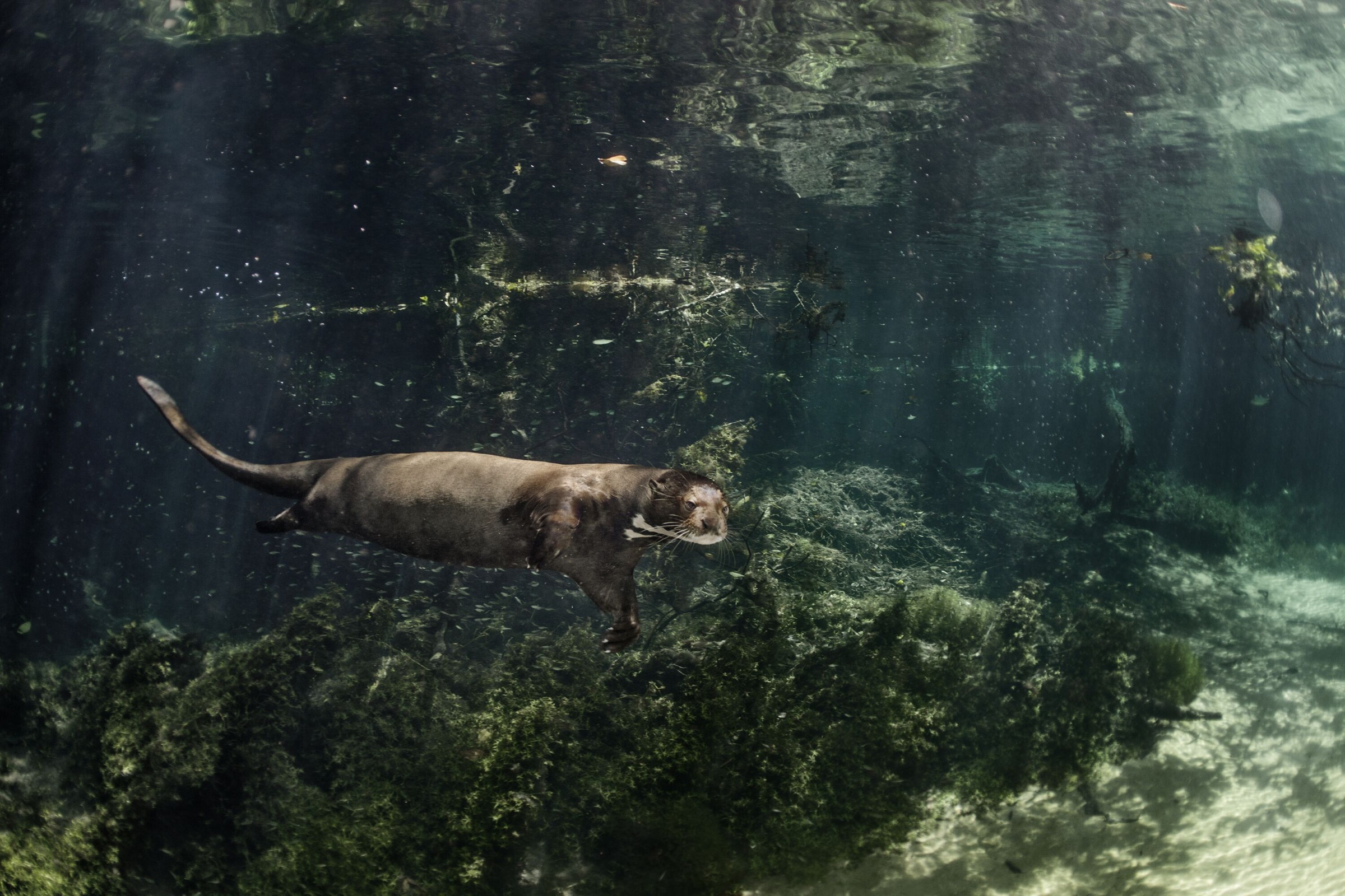 The clarity of the water makes looking for food easier for the carnivorous giant river otter.