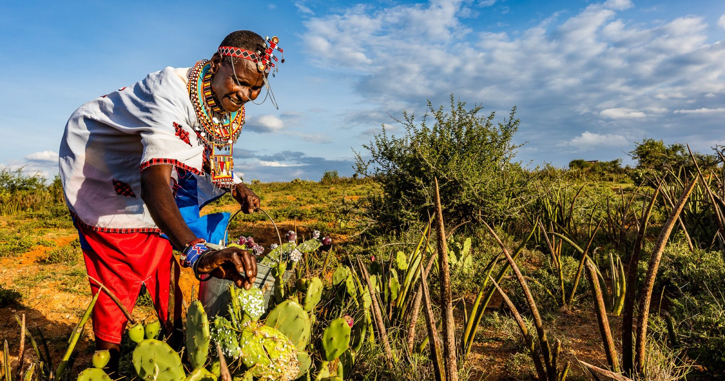 Margaret Nyambura Mamai, a Maasai woman, places cactus pads infested with cochineal insects into healthy (and partially infested) thickets of prickly pear plants on the Laikipia Plateau.