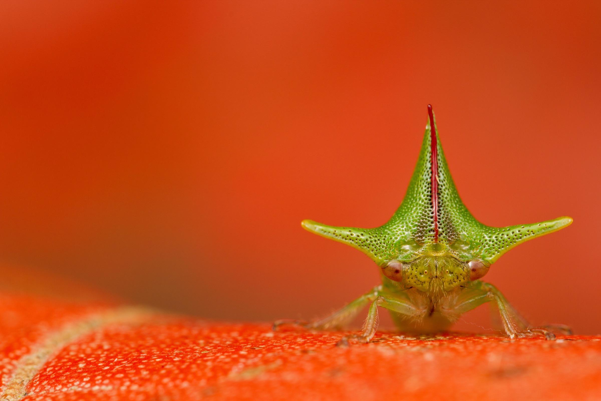 Alchisme grossa treehopper