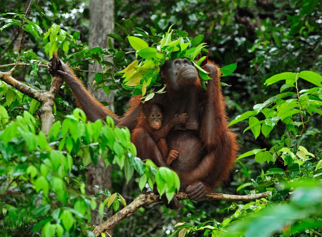 "Borneo Orangutan - Pongo pygmaeus - female with baby on a tree looking up - holding leaves over their heads ""roof"" to protect themselves from rain - Camp Leakey - Tanjung Puting National Park - Kalimantan - Borneo - Indonesia"