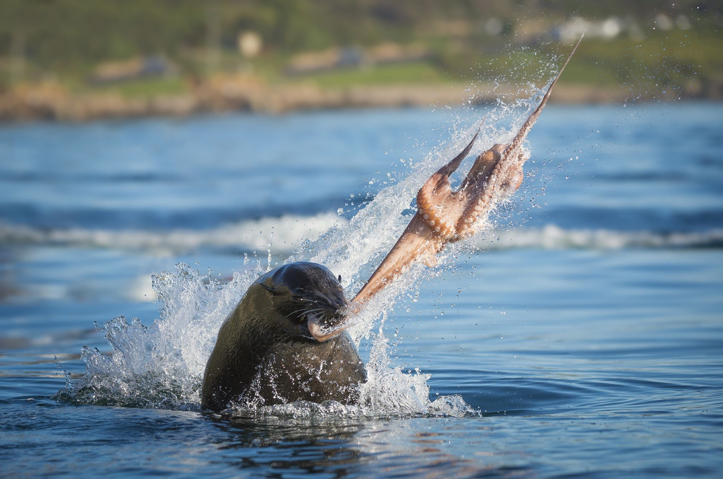 South African fur seal (Arctocephalus pusillus pusillus) bull breaking apart octopus. False Bay, Cape Town, South Africa.