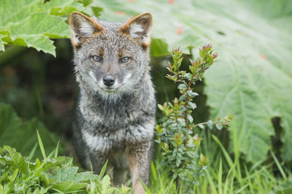 Darwin's Fox (Pseudalopex fulvipes) portrait, in temperate rainforest, Chiloe Island, Chile, November, Critically Endangered