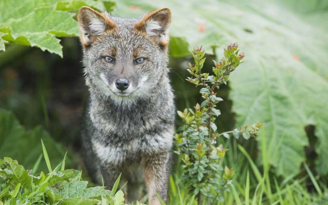 Darwin's Fox (Pseudalopex fulvipes) portrait, in temperate rainforest, Chiloe Island, Chile, November, Critically Endangered