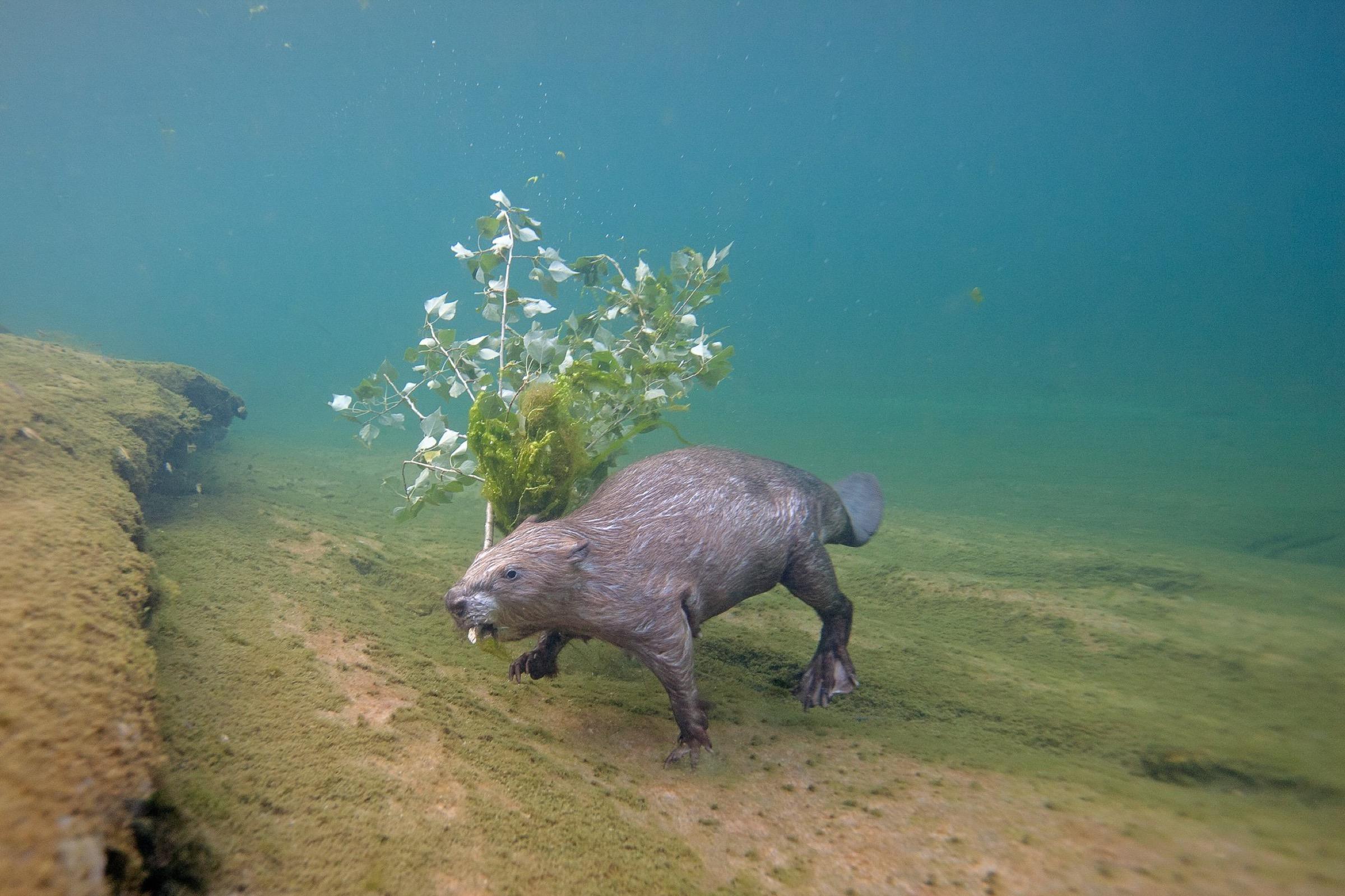 Eurasian beavers