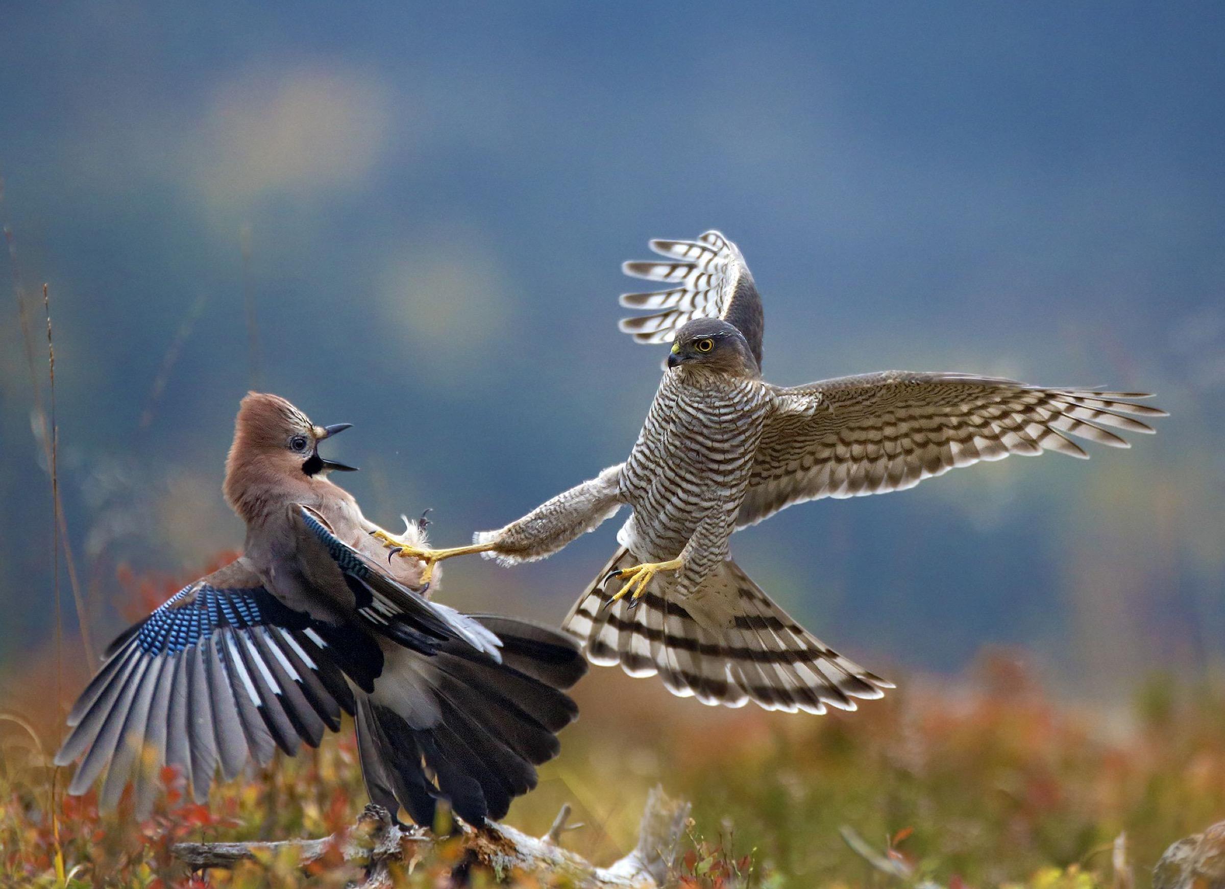 Eurasian sparrowhawks (Accipter nisus)