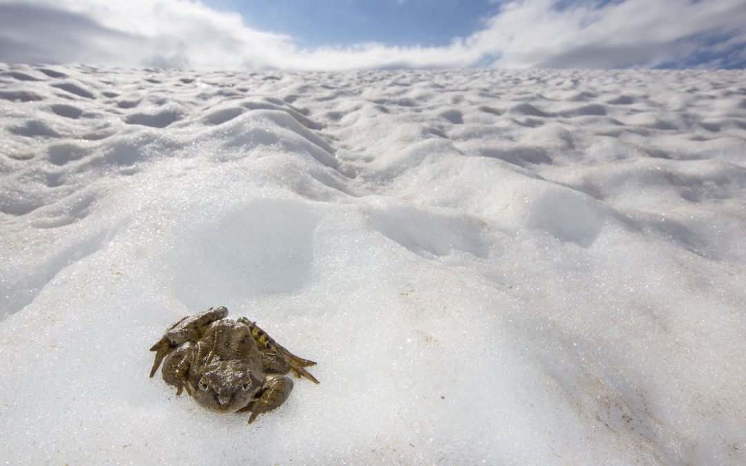 Common frog (Rana temporaria) sitting on snow in the breeding season in the Alps, France, June..