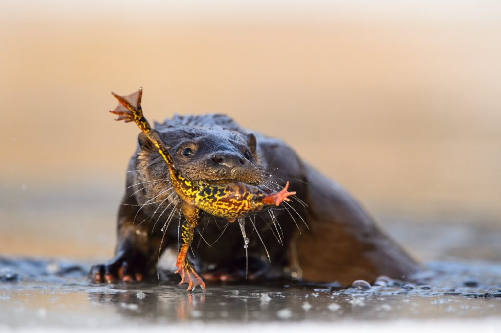 Otter (lutra lutra) is eating a wintering common frog it just caught from a river in Southern Estonia.