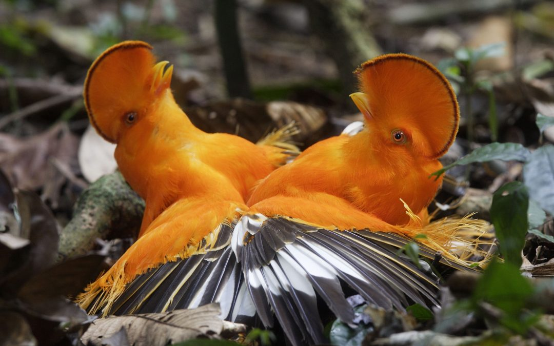 Guianan cocks-of-the-rock (Rupicola rupicola)