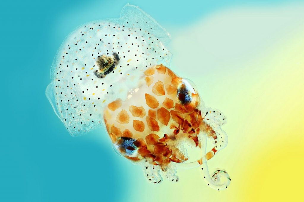 Hawaiian bobtail squid (Euprymna scolopes)