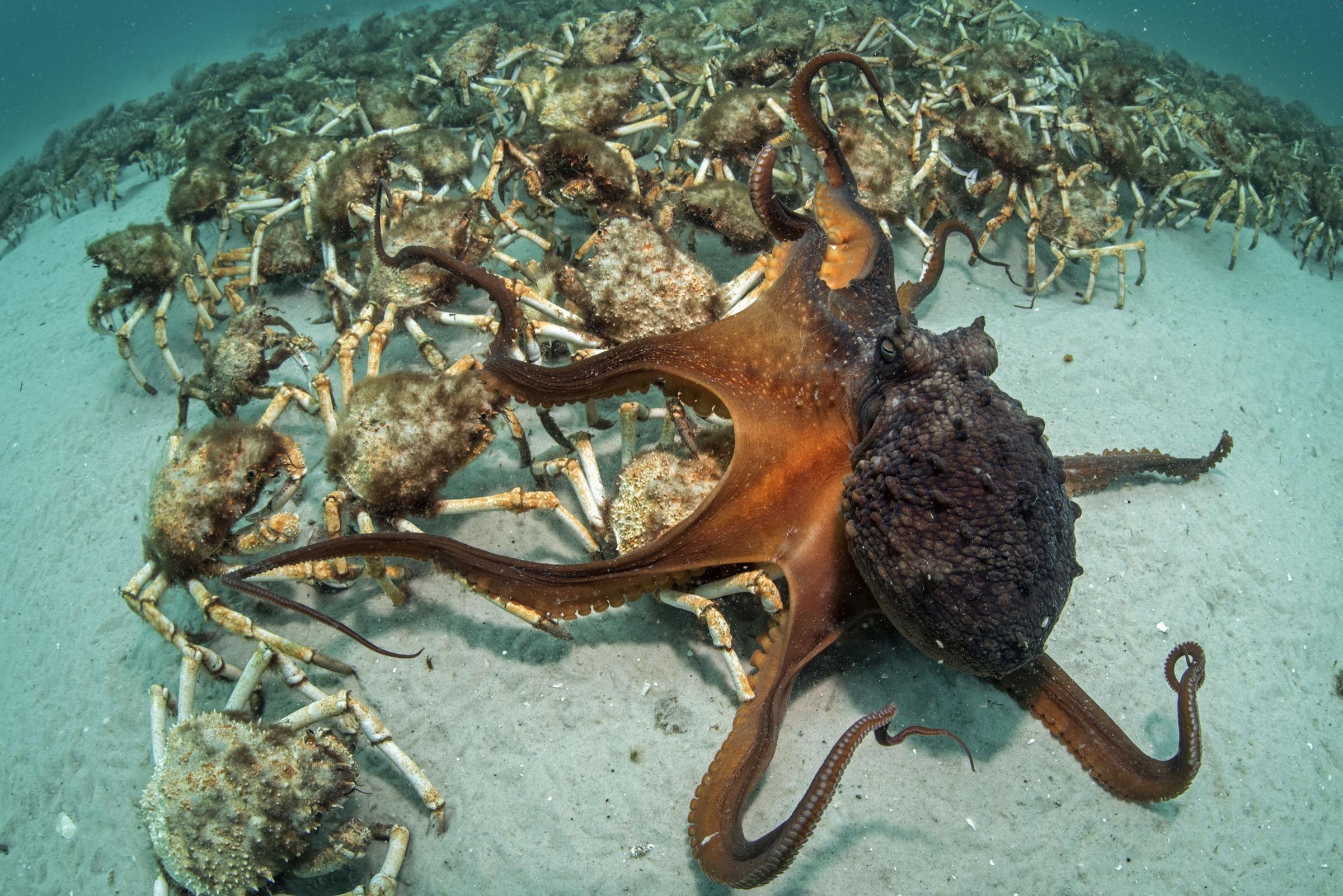 Maori octopus (Macroctopus maorum)