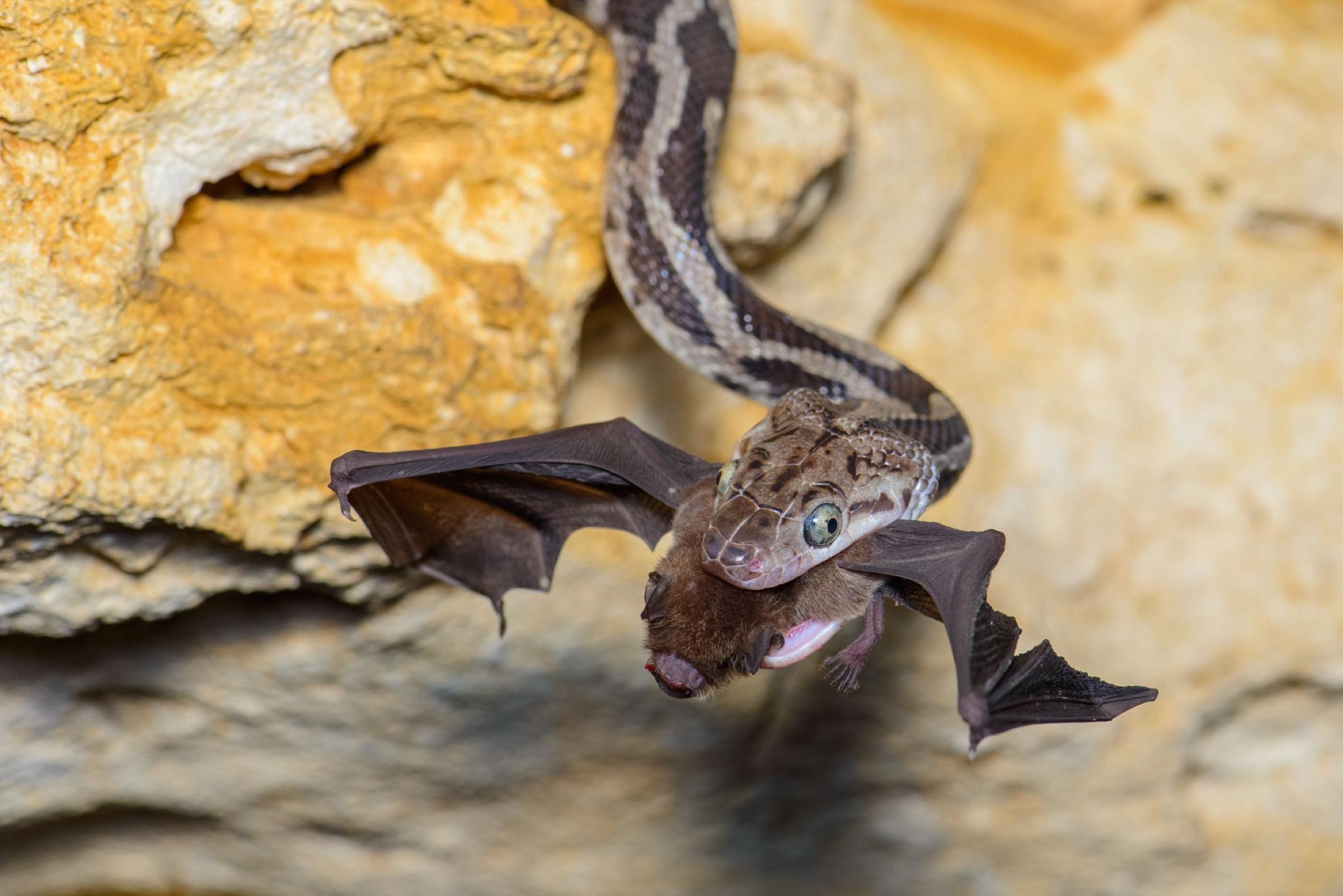 Mesoamerican mustached bat (Pteronotus parnellii mesoamericanus)