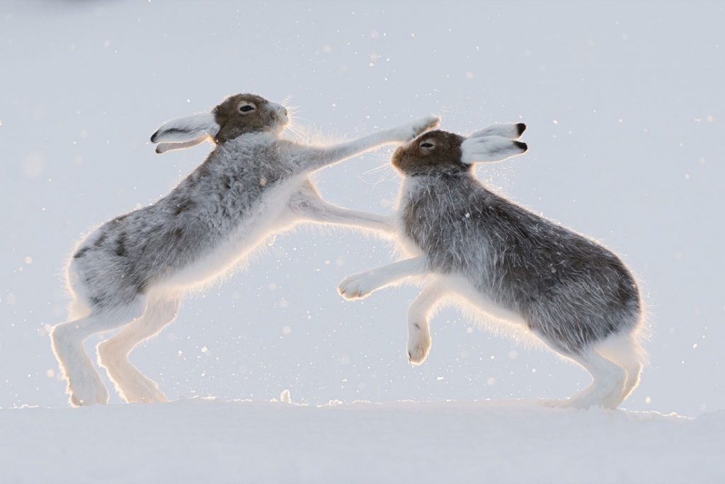 Mountain hares (Lepus timidus)