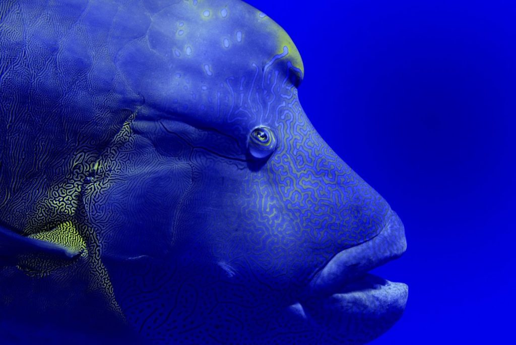 Napoleon wrasse (Cheilinus undulatus) portrait. Red Sea, Egypt. October.