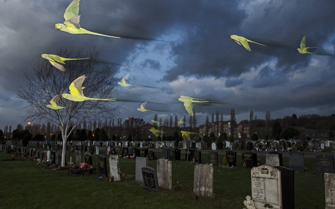 Rose-ringed / ring-necked parakeets (Psittacula krameri) in flight on their way to roost in an urban cemetery. London, UK. January