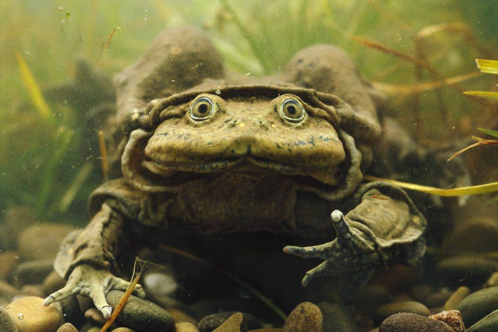Giant Titicaca Lake frog {Telmatobius culeus} Lake Titicaca. Bolivia / Peru