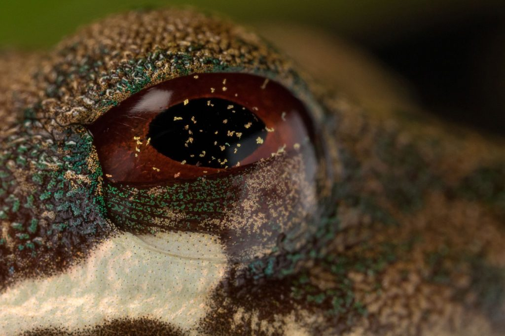 a rufous-eyed brook frog (Duellmanohyla rufioculis)