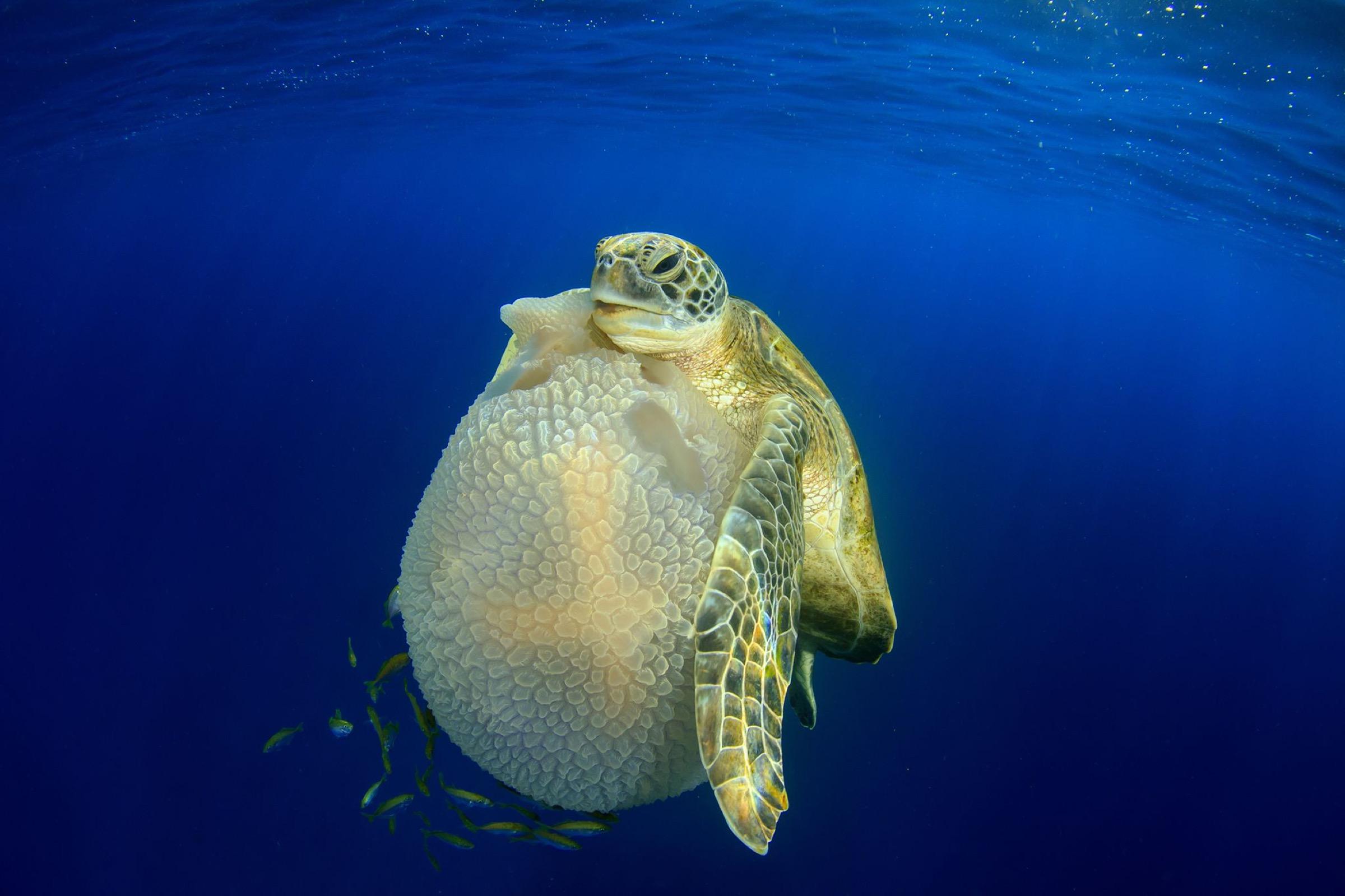 a young green sea turtle (Chelonia mydas)