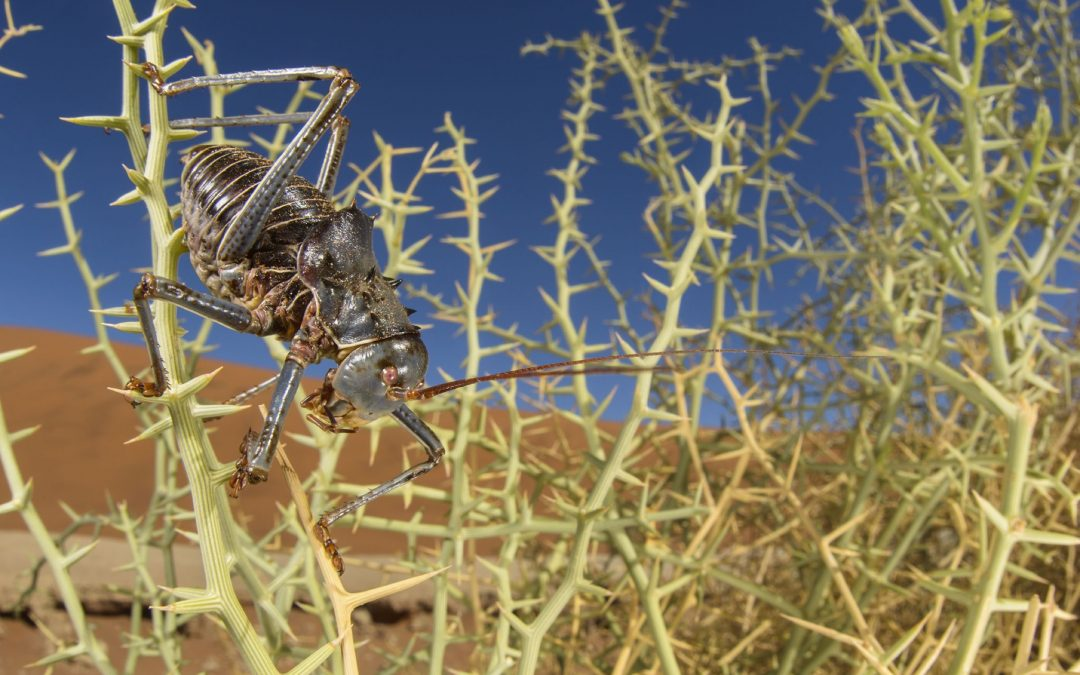 This desert cricket (Acanthoplus discoidalis), armored with spines, walks among a very spiny herb in the Namib Desert. Having spines in such environment means being less attractive to predators and, for the plants, it helps a lot on retaining water. Sossusvlei, Namibia. Nikon D800, 15mm fisheye, F/16, 1/100, ISO 100, fill-flash used