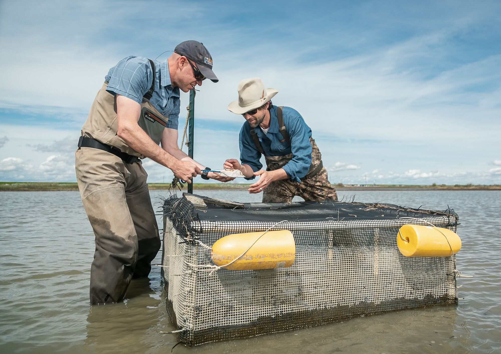 Carson Jeffres from the University of California, Davis and Jacob Katz from California Trout scoop a Chinook salmon fry out of a cage in a flooded rice field at Knaggs Ranch.